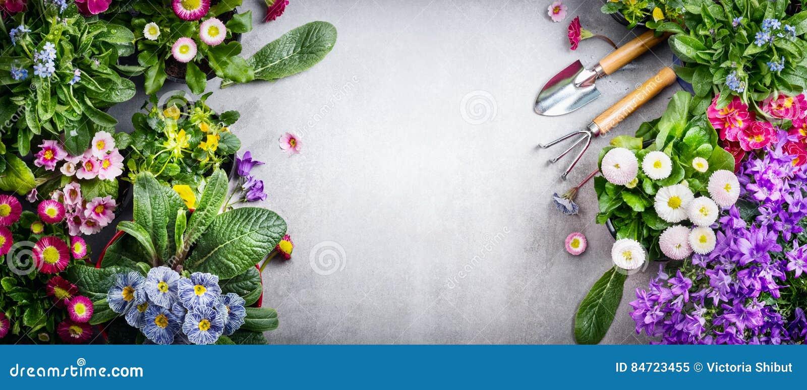Kwiecisty ogrodnictwa tło z rozmaitością kolorowi ogródów kwiaty i ogrodnictw narzędzia na betonowym tle, odgórny widok, miejsce
