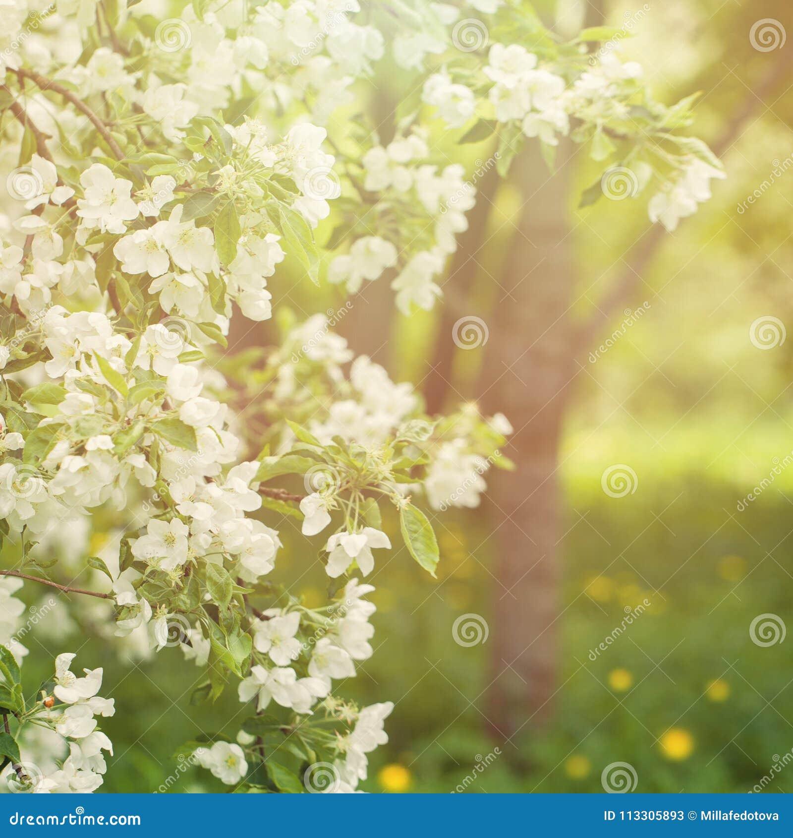 Kwiecisty wiosny tło z wiosna Jabłczanymi kwiatami