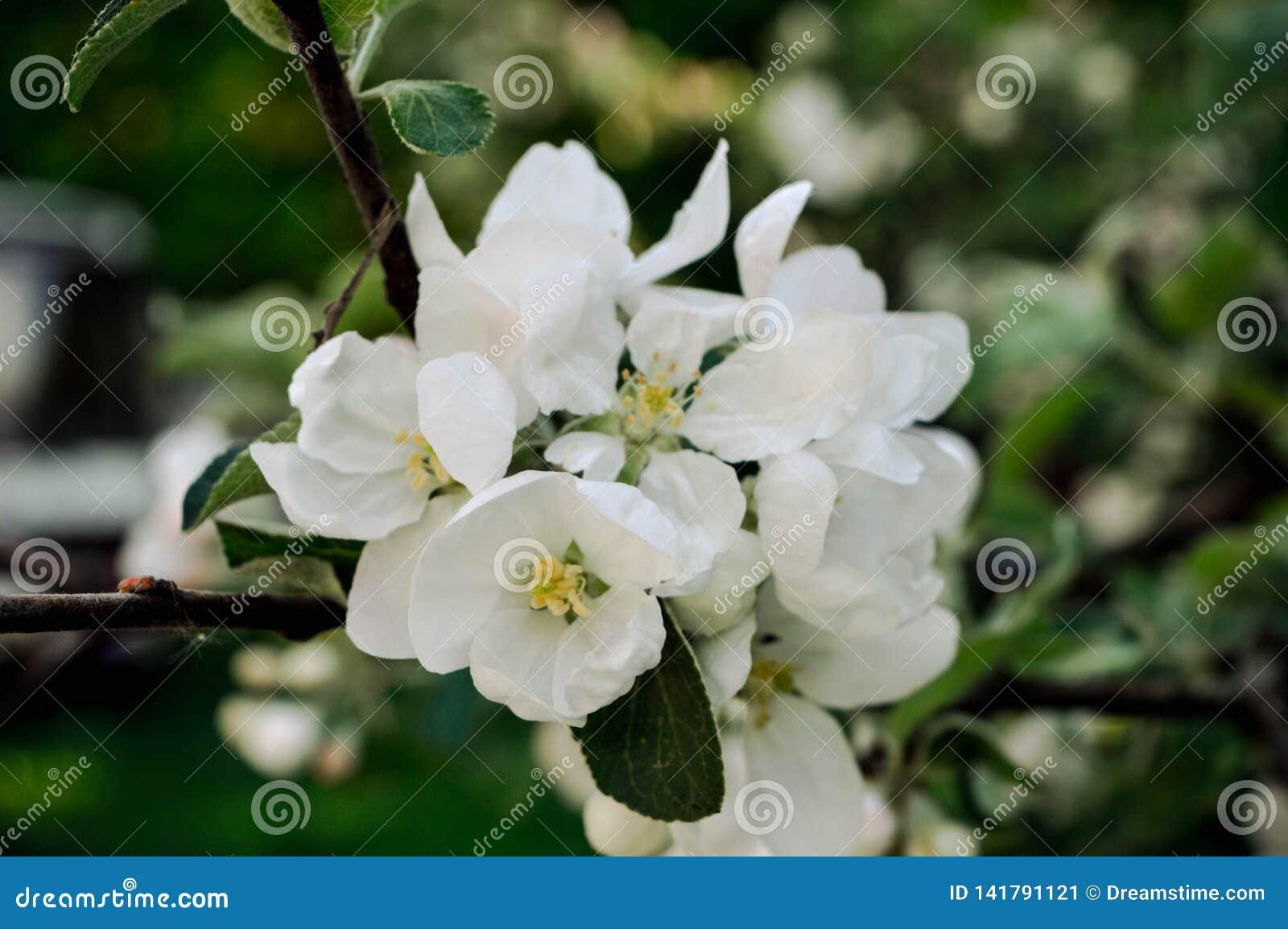 Kwitnąć jabłoń w ciepłym wiosny popołudniu