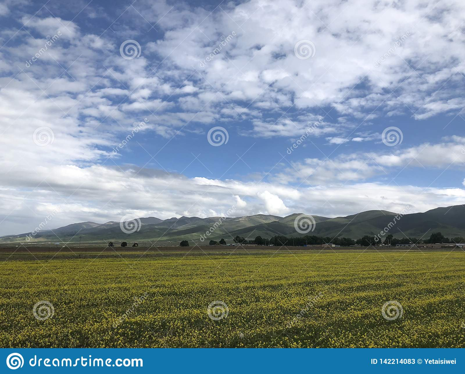 Kwitnąć rapeseed pole Qianghai jeziorem