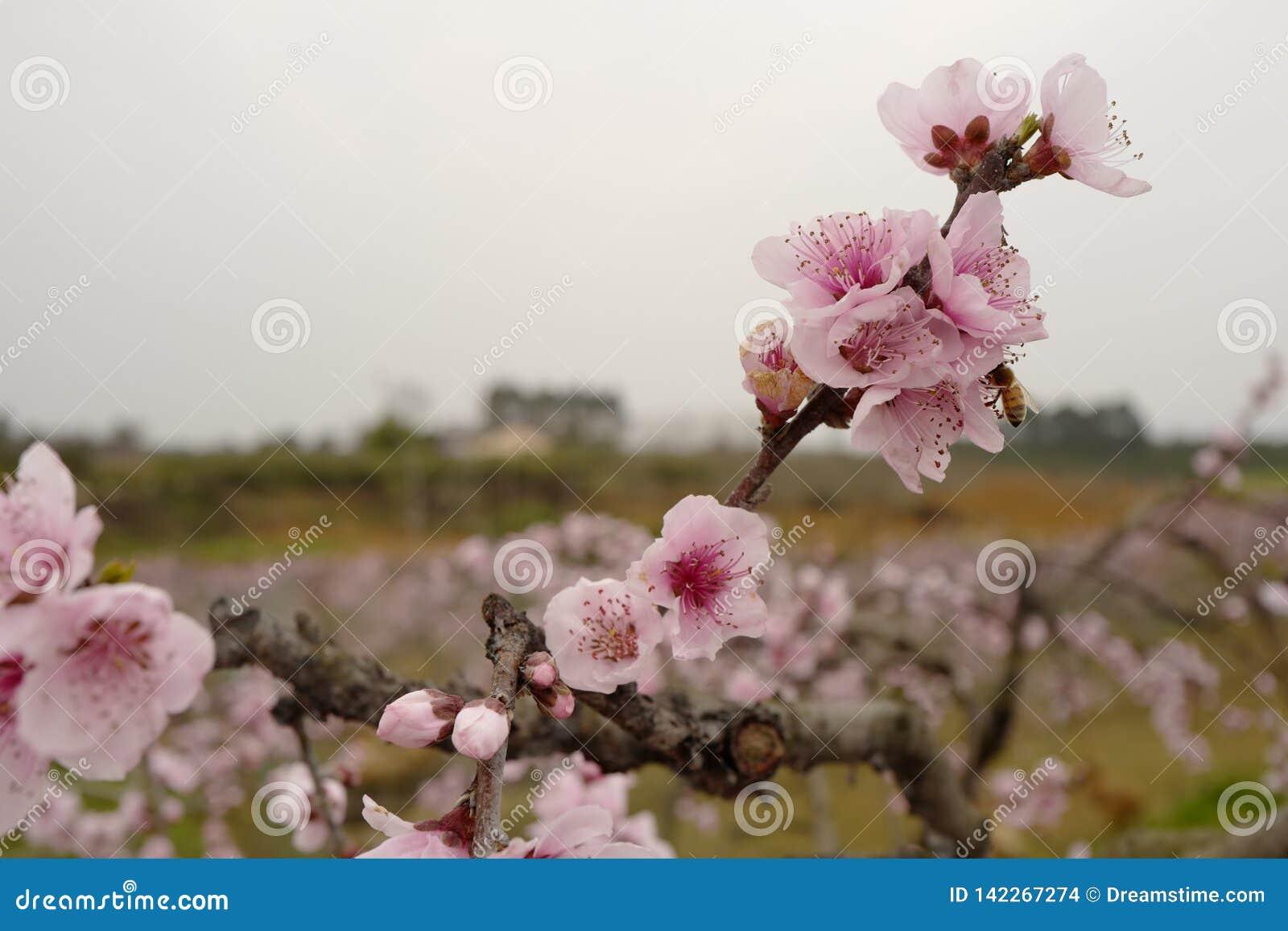 Kwitnąć brzoskwinię kwitnie w wiosna popióle