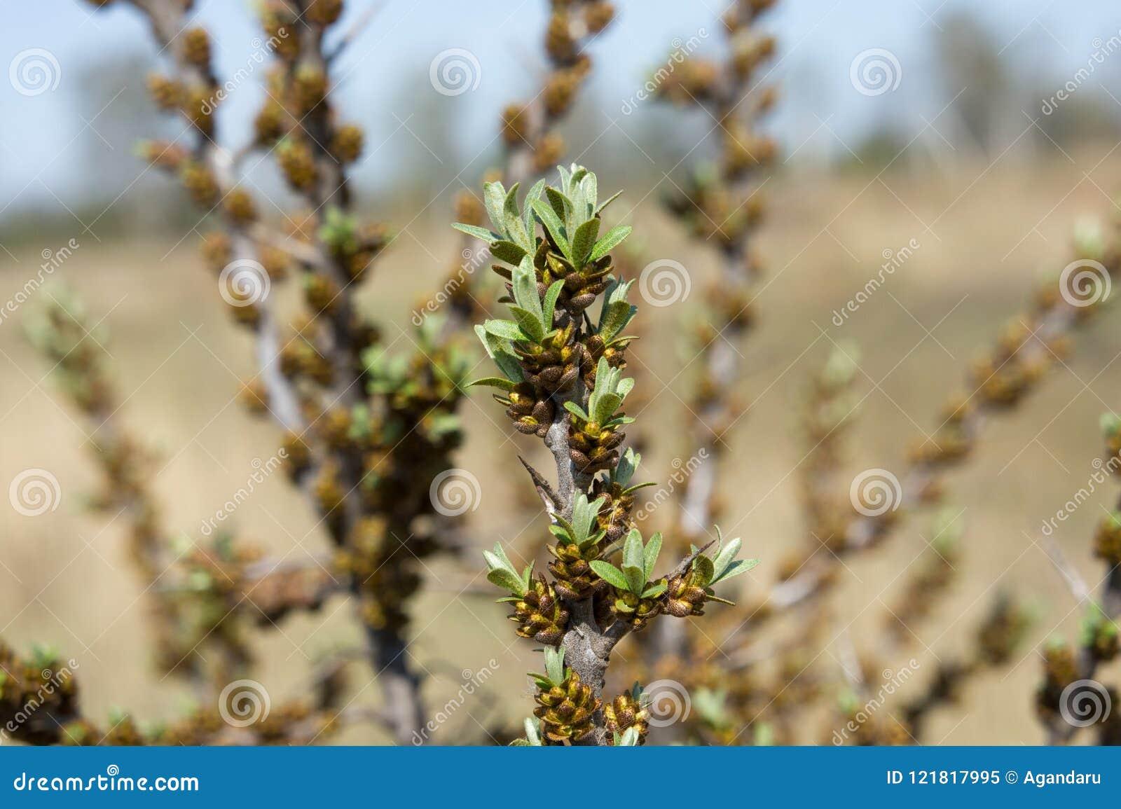 Kwitnąć buckthorn fartuch