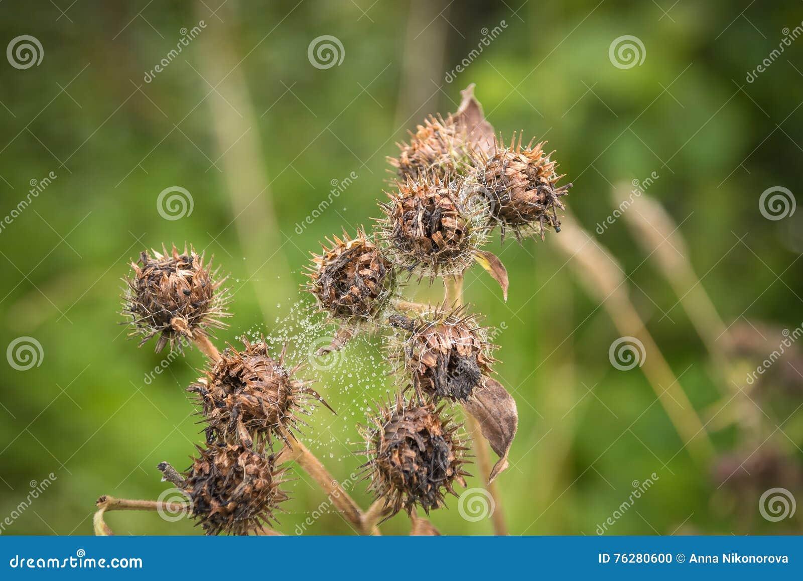 Kwitnąć pięknego kwiatu z łopianowymi prickles Arctium lappa