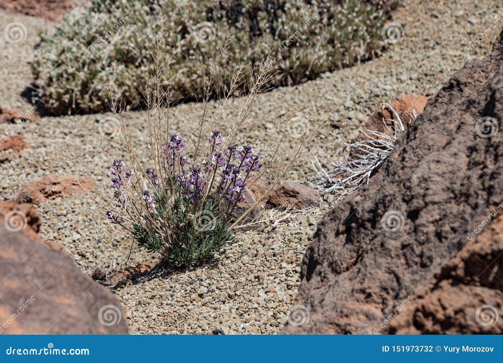 Kwitnąć Teide wallflower Erysimum scoparium, endemicznego, kwiecenie na lawy skale Park Narodowy Teide, Tenerife, wyspy kanaryjsk
