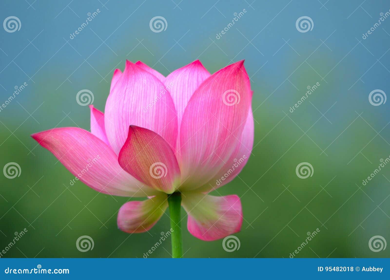 Kwitnąć w i święty lotosowy kwiat