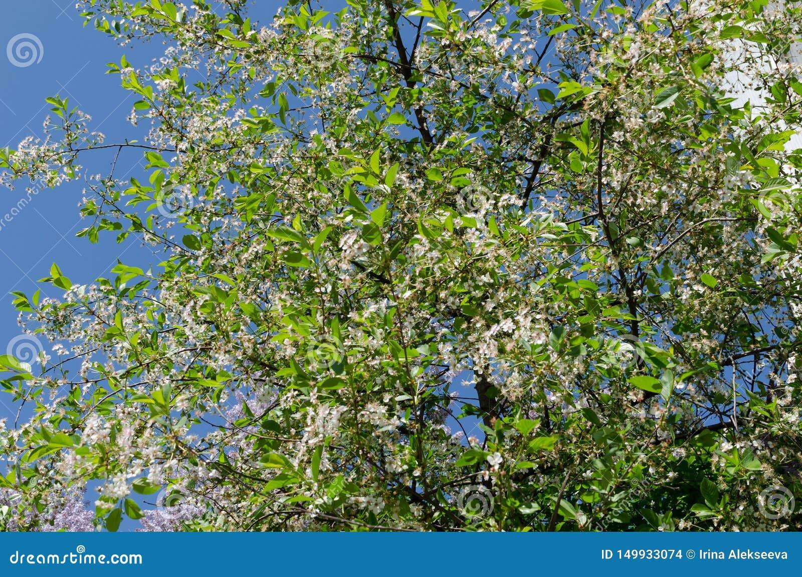 Kwitnąca jabłoń przeciw niebieskiemu niebu obudzenie natura Poj?cie wiosna