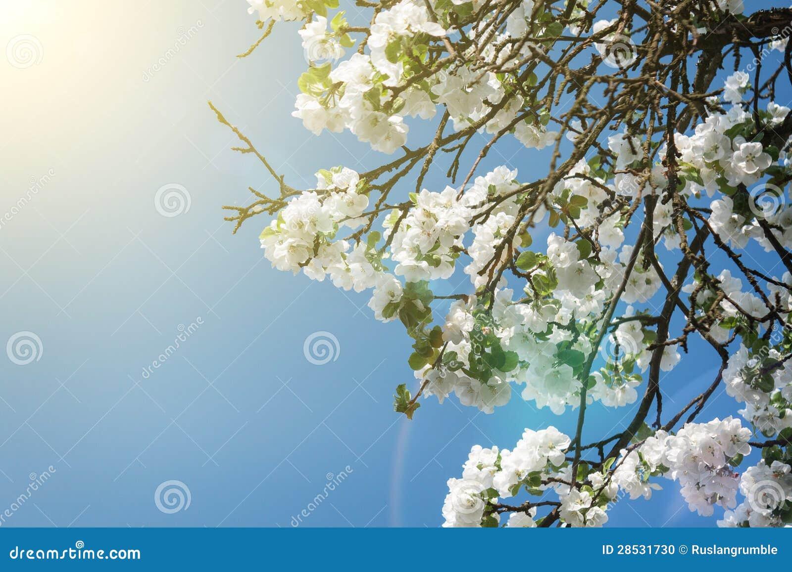 Kwitnąca jabłoni gałąź w wiośnie nad niebieskim niebem