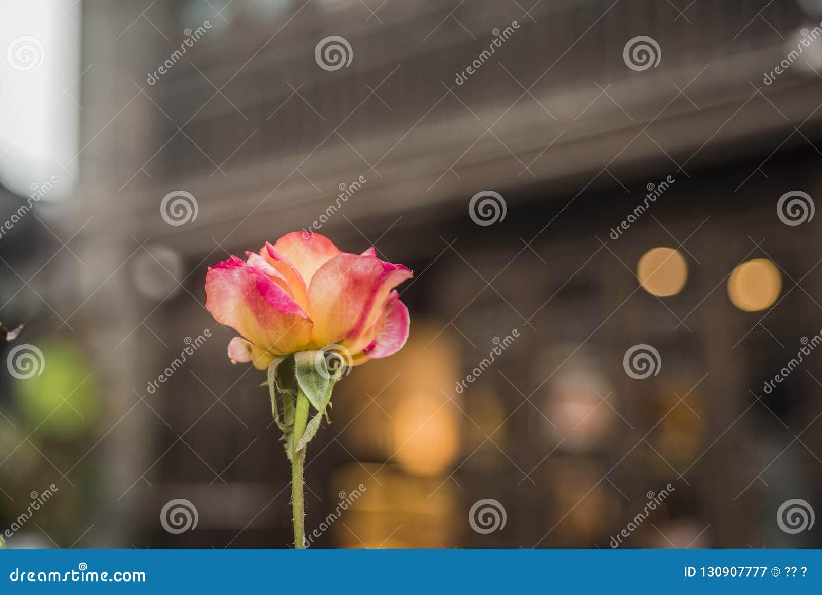 Kwitnąca pomarańczowoczerwona róża