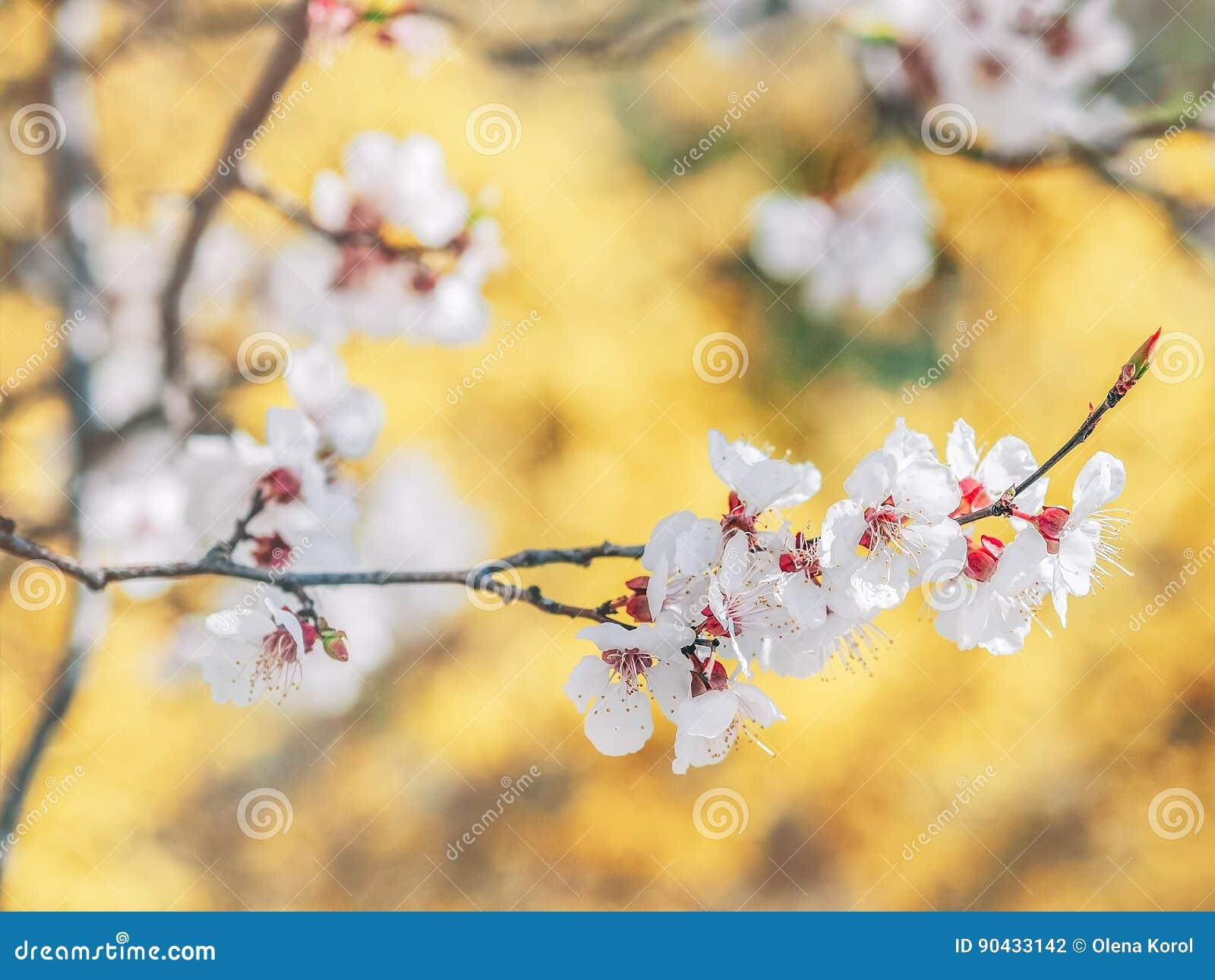 Kwitnące gałąź z białymi kwiatami starożytny ciemności tła papieru akwareli żółty Wiosna w Ukraina Biały ostrze i defocused kwiat