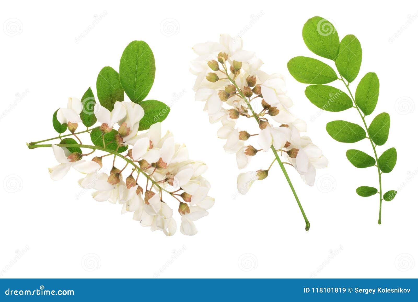 Kwitnący akaci z liśćmi odizolowywającymi na białym tle, Akacjowi kwiaty, grochodrzewu pseudoacacia Biała akacja