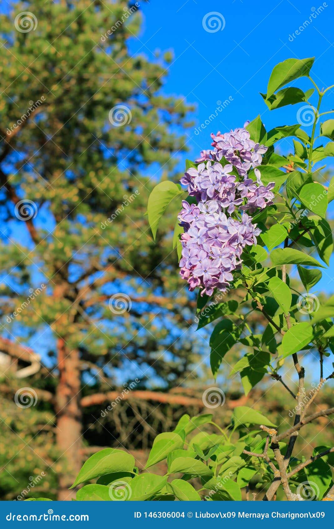 Kwitnący bzy rozgałęziają się, sosna i niebieskie niebo w wiośnie Fio?kowi florets lila wiosna w ogr?dzie