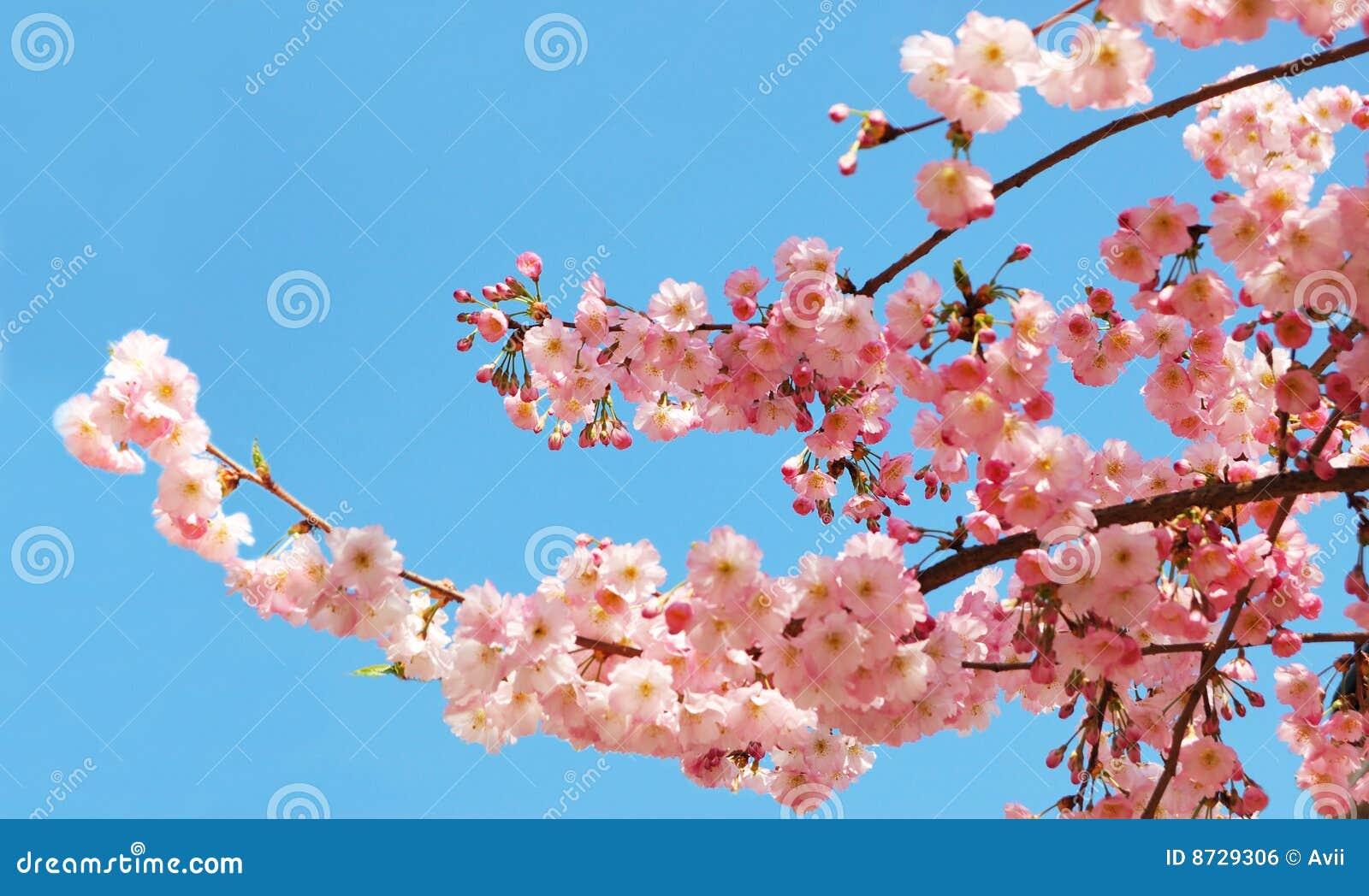 Kwitnący czereśniowy drzewo