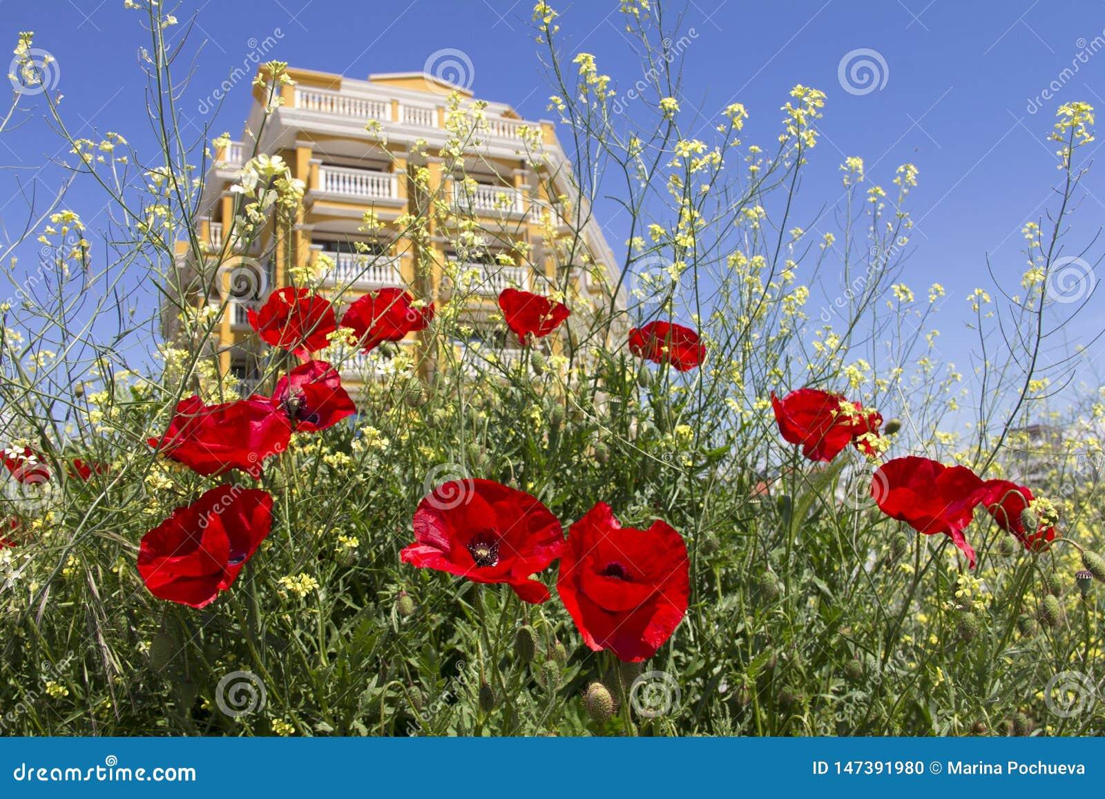 Kwitnący czerwoni maczki na tle nowy budynek