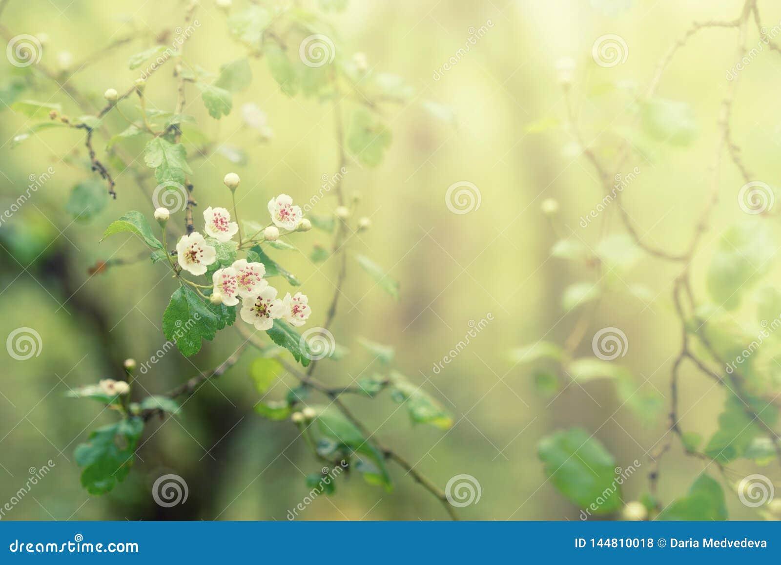 Kwitnący drzewo z białymi kwiatami, skacze kwiecisty abstrakcjonistyczny tło, miękka ostrość