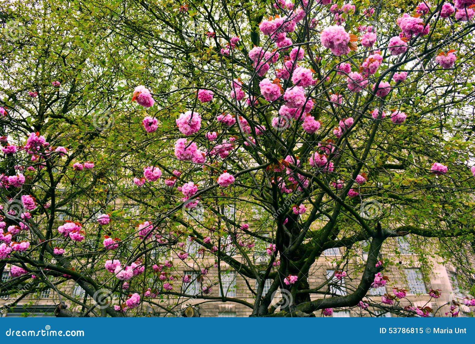 Kwitnący drzewo z menchiami kwitnie w wiośnie, Londyn, Zjednoczone Królestwo