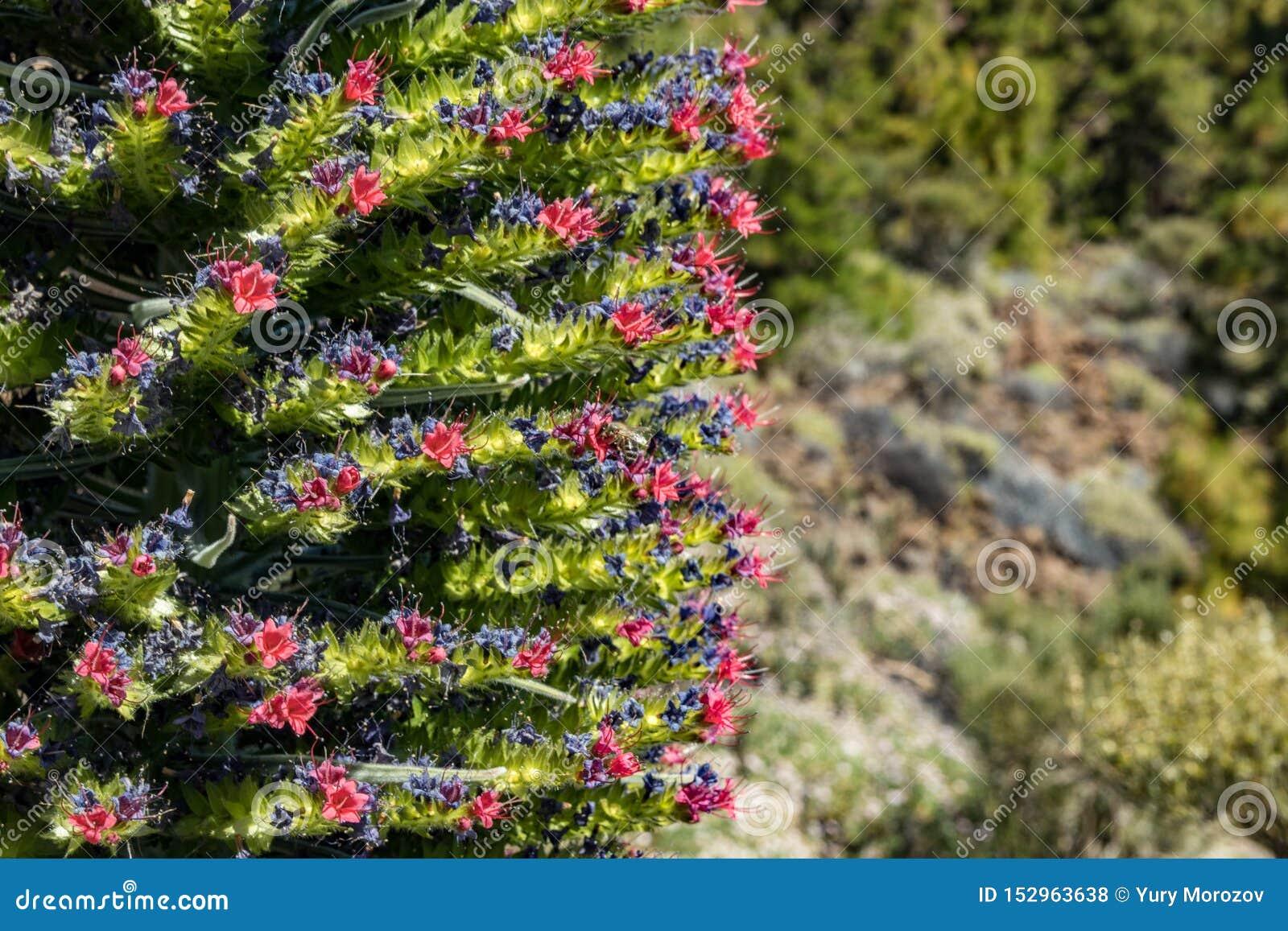 Kwitnący Endemiczny piękny kwiatu Tajinaste rojo - Echium wildpretii- i few pszczoły lata wokoło Wiosna czas? wzrasta? li?cie, na