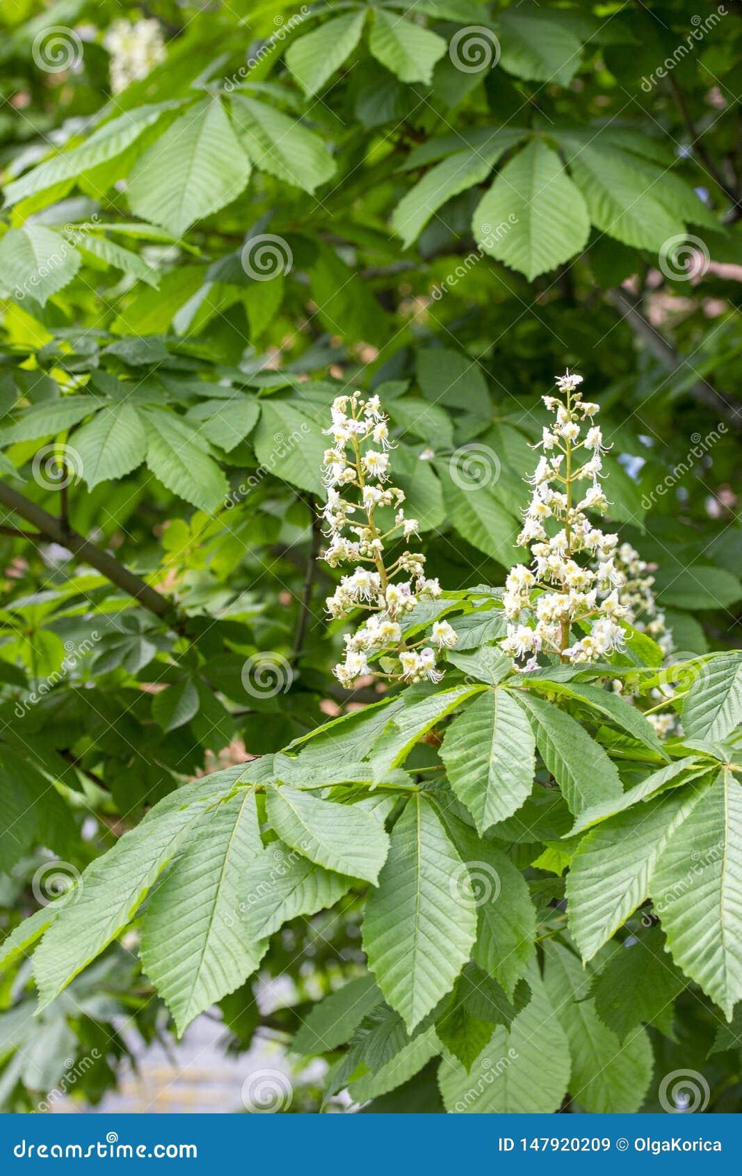 Kwitnący kasztan, biel rożków świeczka kasztanów kwiaty, jajnik końskiego kasztanu owoc, kwiatów i liści