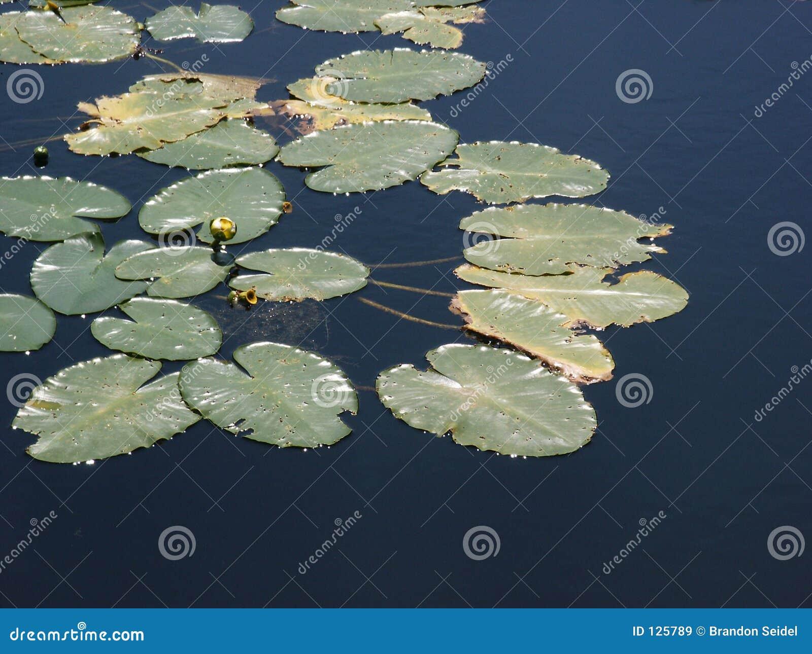 Kwitnący lilii wody