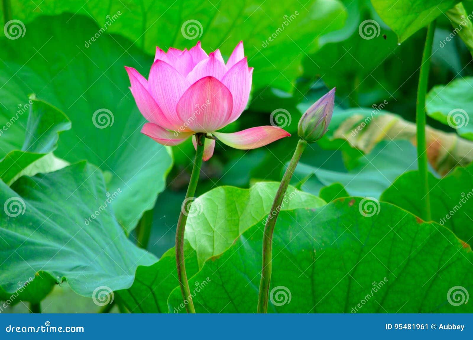 Kwitnący lotusï ¼ Œcompanionship i loe