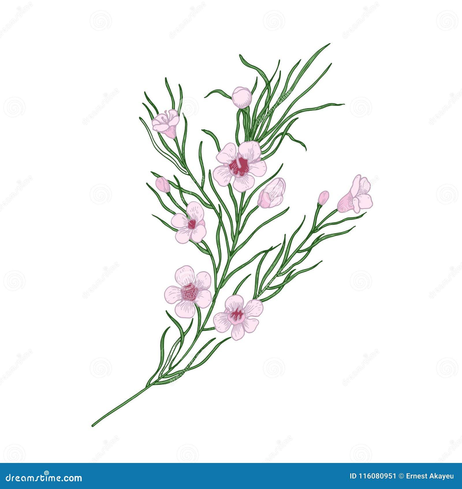 Kwitnący różowi Geraldton wosku kwiaty odizolowywający na białym tle Elegancki naturalny rysunek wspaniały kultywujący