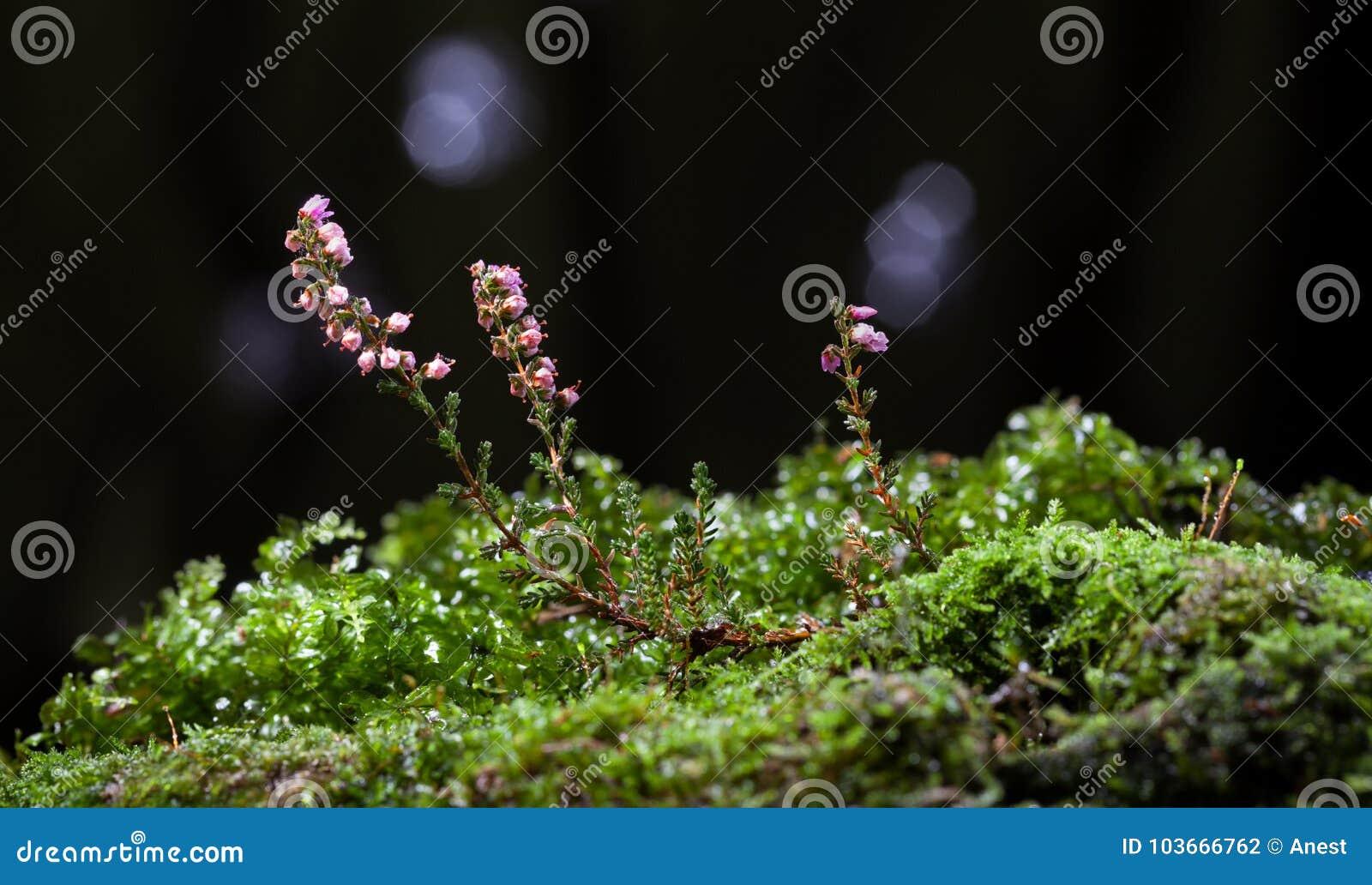 Kwitnący wrzosowisko na mechatym wzgórku
