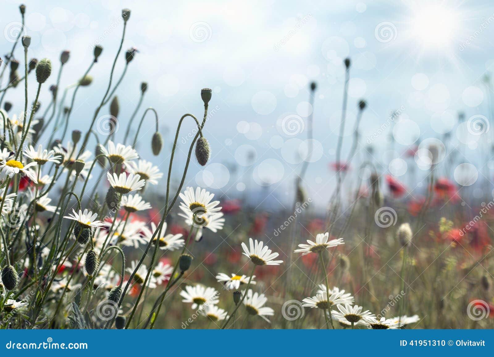 Kwitnące stokrotki i maczki