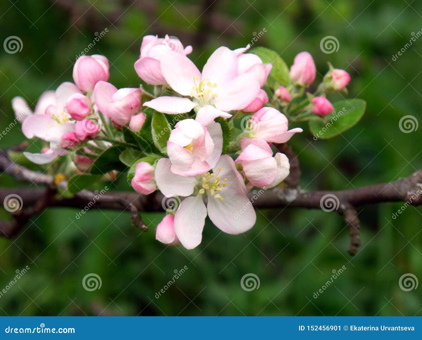 Kwitn?? jab?ka, kwiatono?ny jab?ko z bliska Wiosny s?oneczny t?o, fotografii tapeta