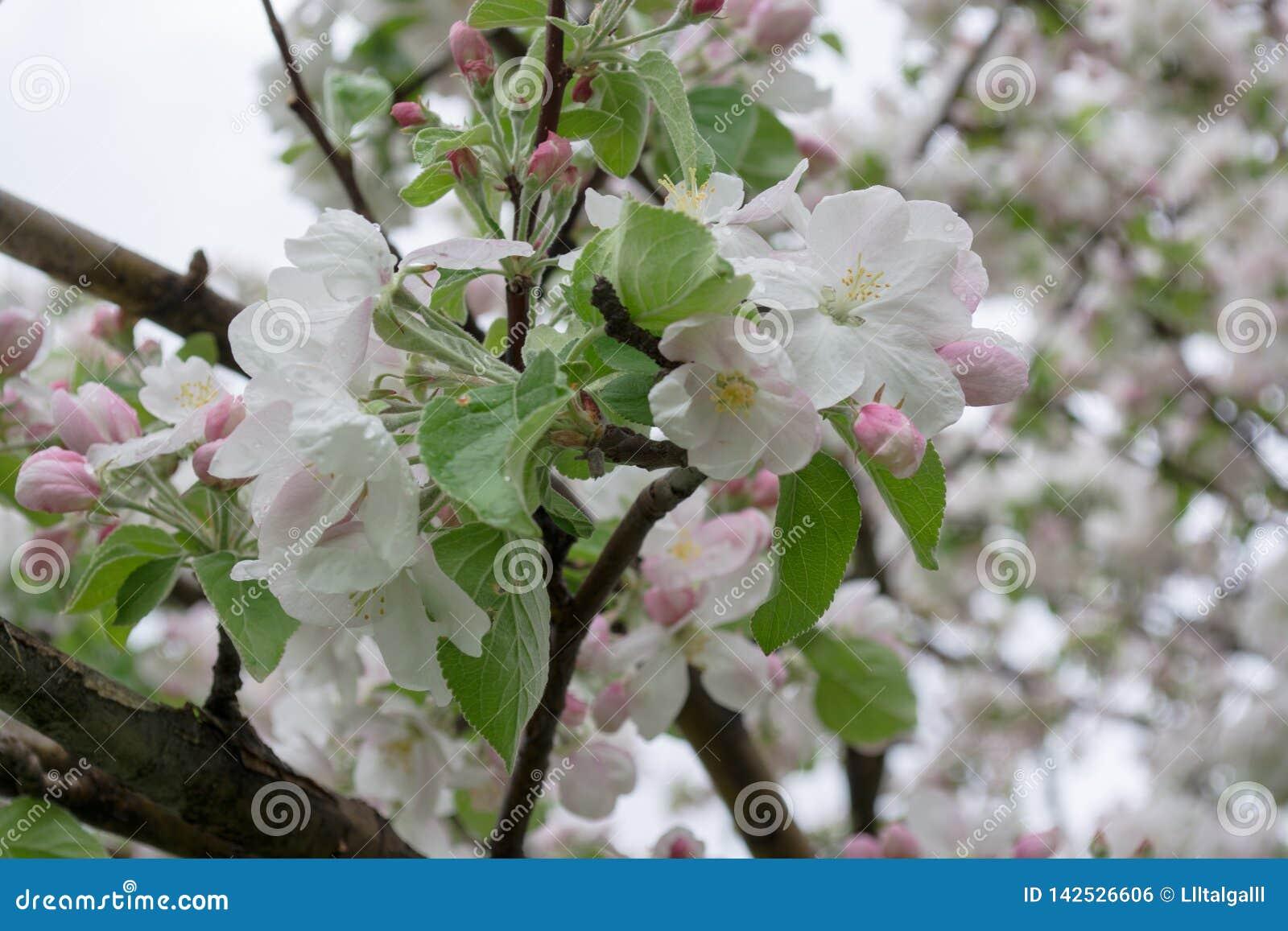 Kwitn?? jab?onie Natura w Tekeli Wiosna kazakhstan