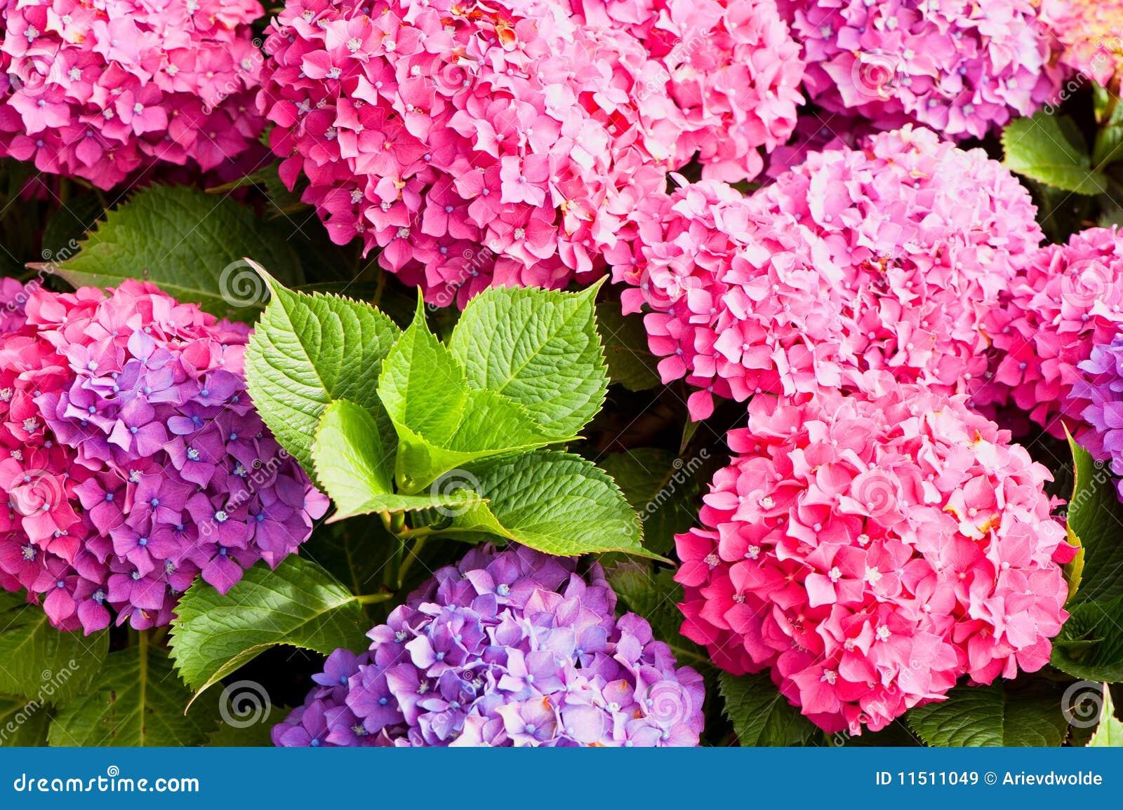 Kwitnie hortensi