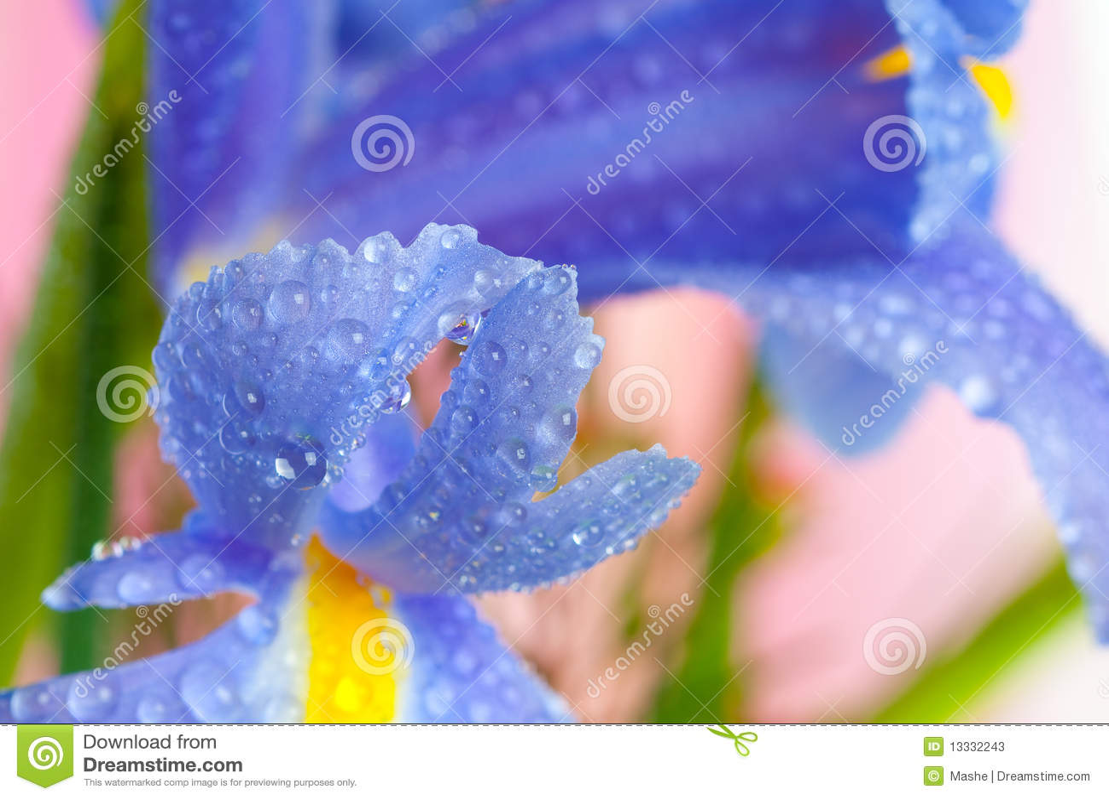 Kwitnie irysy