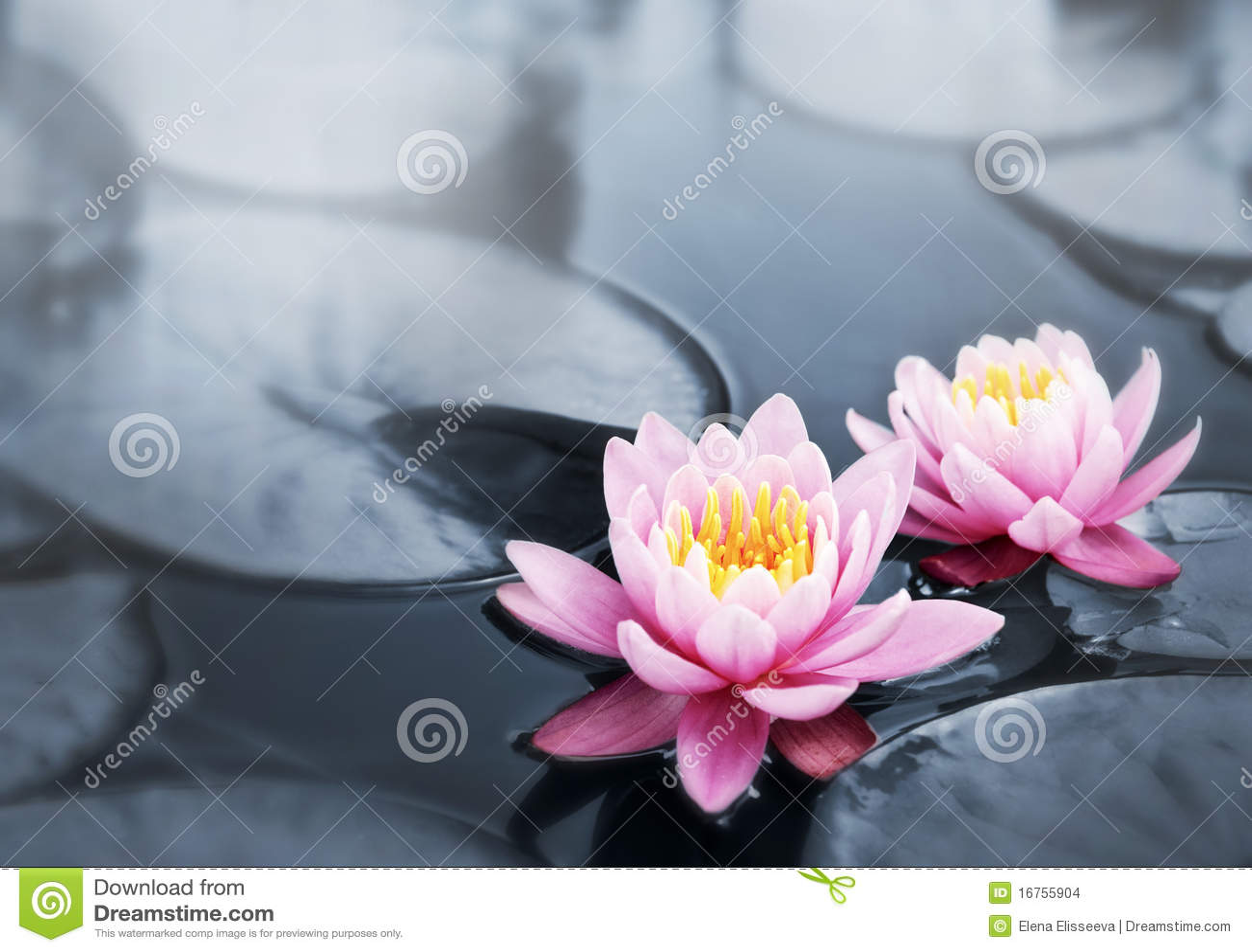 Kwitnie lotosu