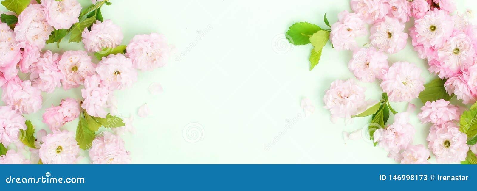 Kwitnie sk?adu t?o pi?kny r??owy Sakura kwitnie na mlecznozielonym tle