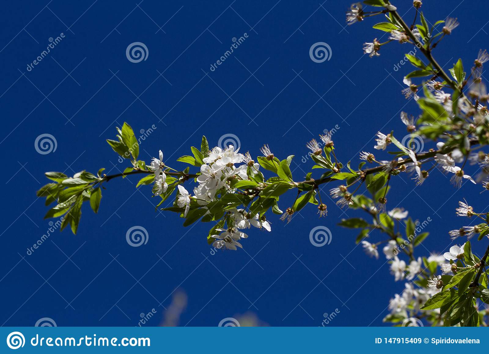 Kwitnie wiśni gałąź zaświecali słońcem na letnim dniu w lesie
