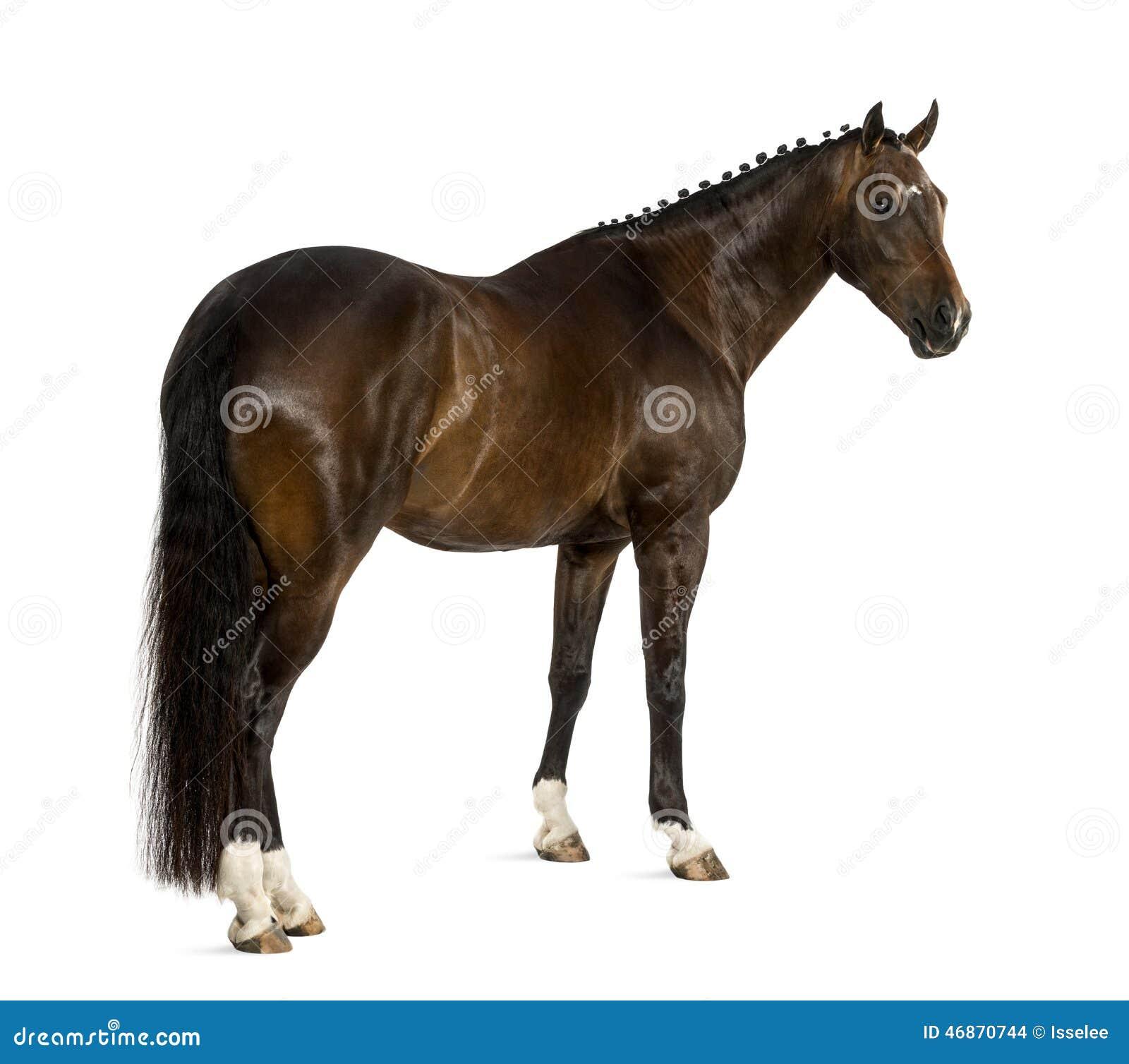 KWPN - Dutch Warmblood, 3 years old - Equus ferus caballus