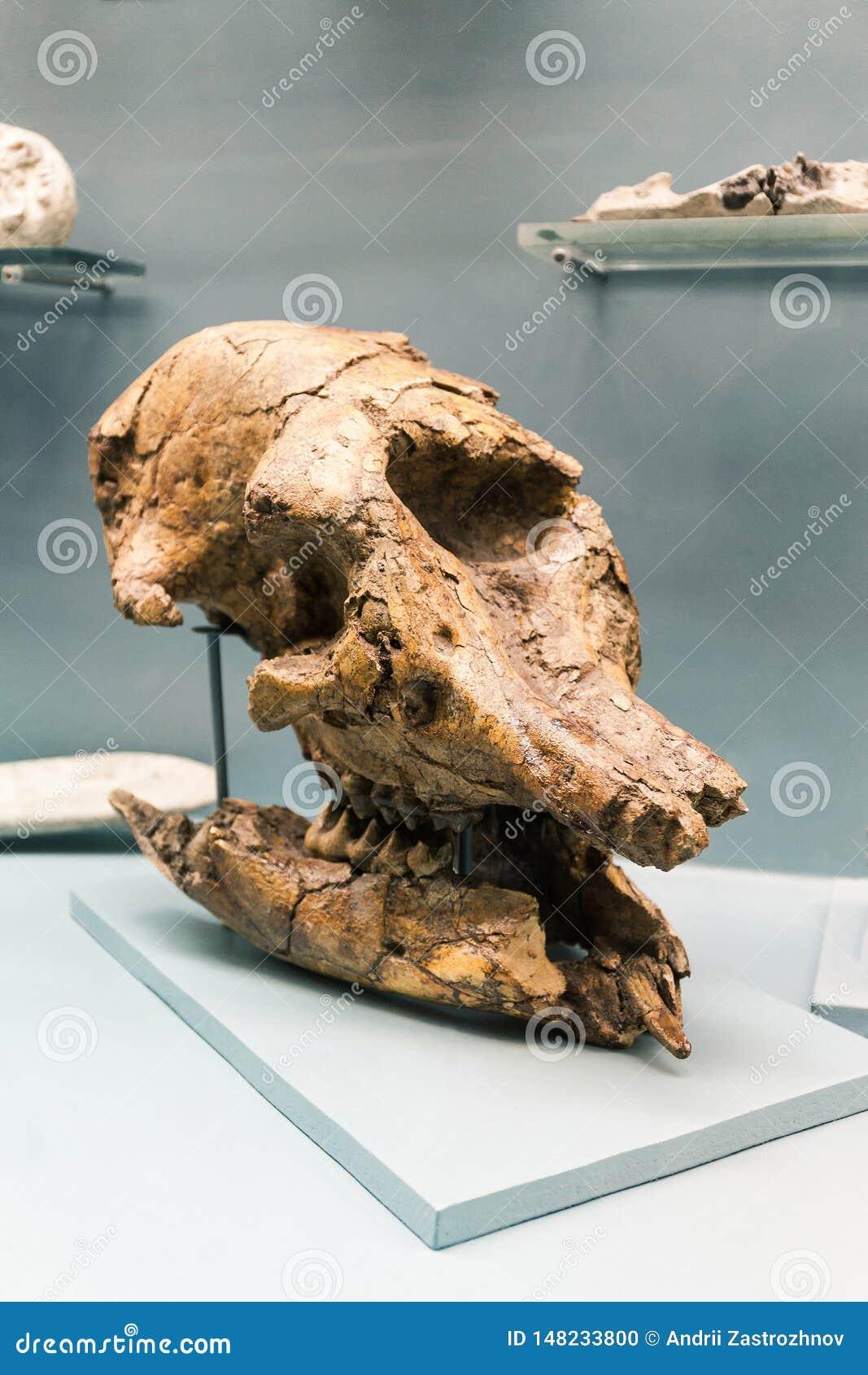 KYIV, ΟΥΚΡΑΝΊΑ - 16 ΙΟΥΝΊΟΥ 2018: Εθνικό Μουσείο των φυσικών επιστημών της Ουκρανίας Απολιθωμένο κρανίο, σκελετός δεινοσαύρων Γίγ
