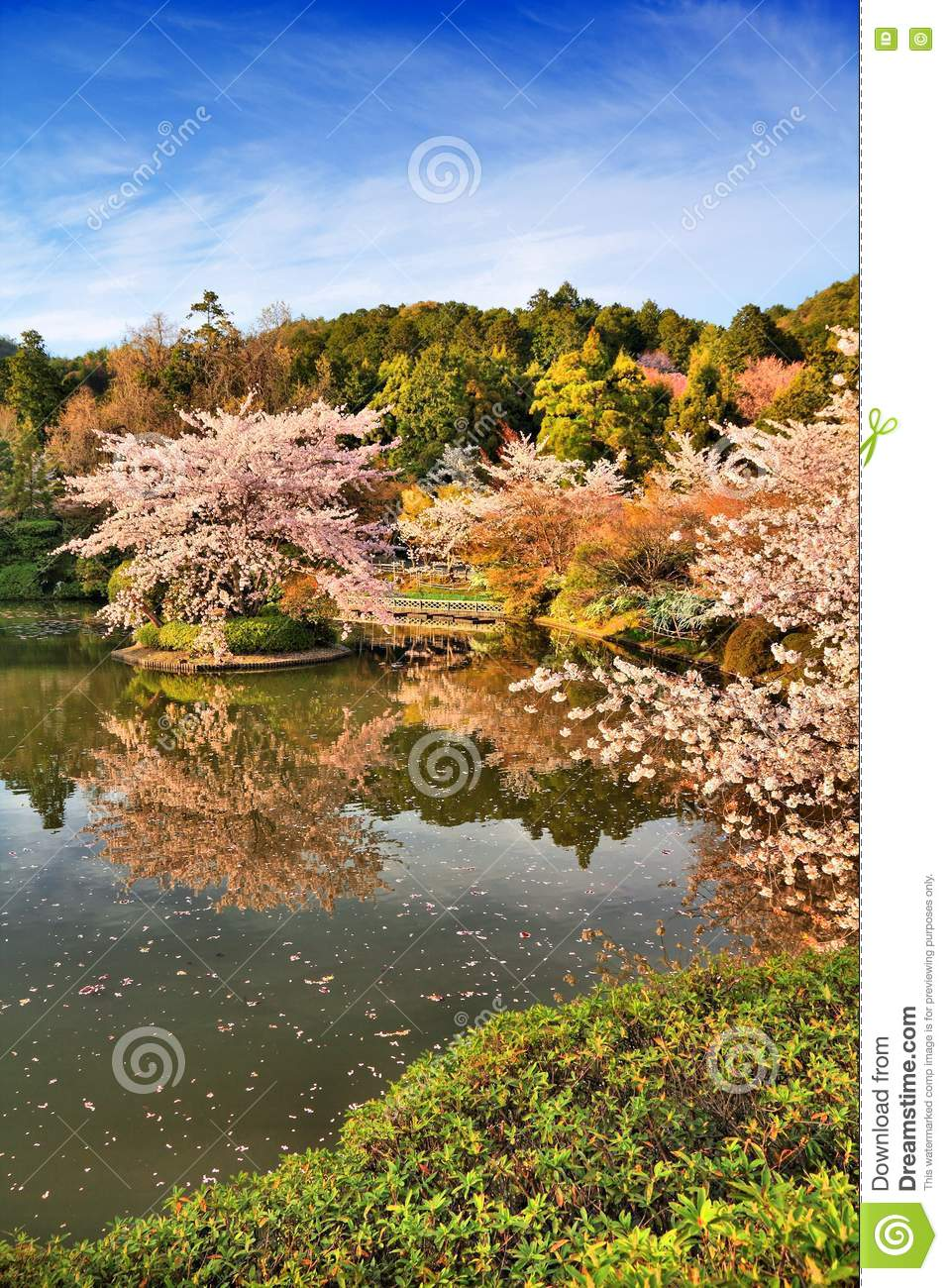 Kyoto cherry blossom stock image. Image of sightseeing - 78072761
