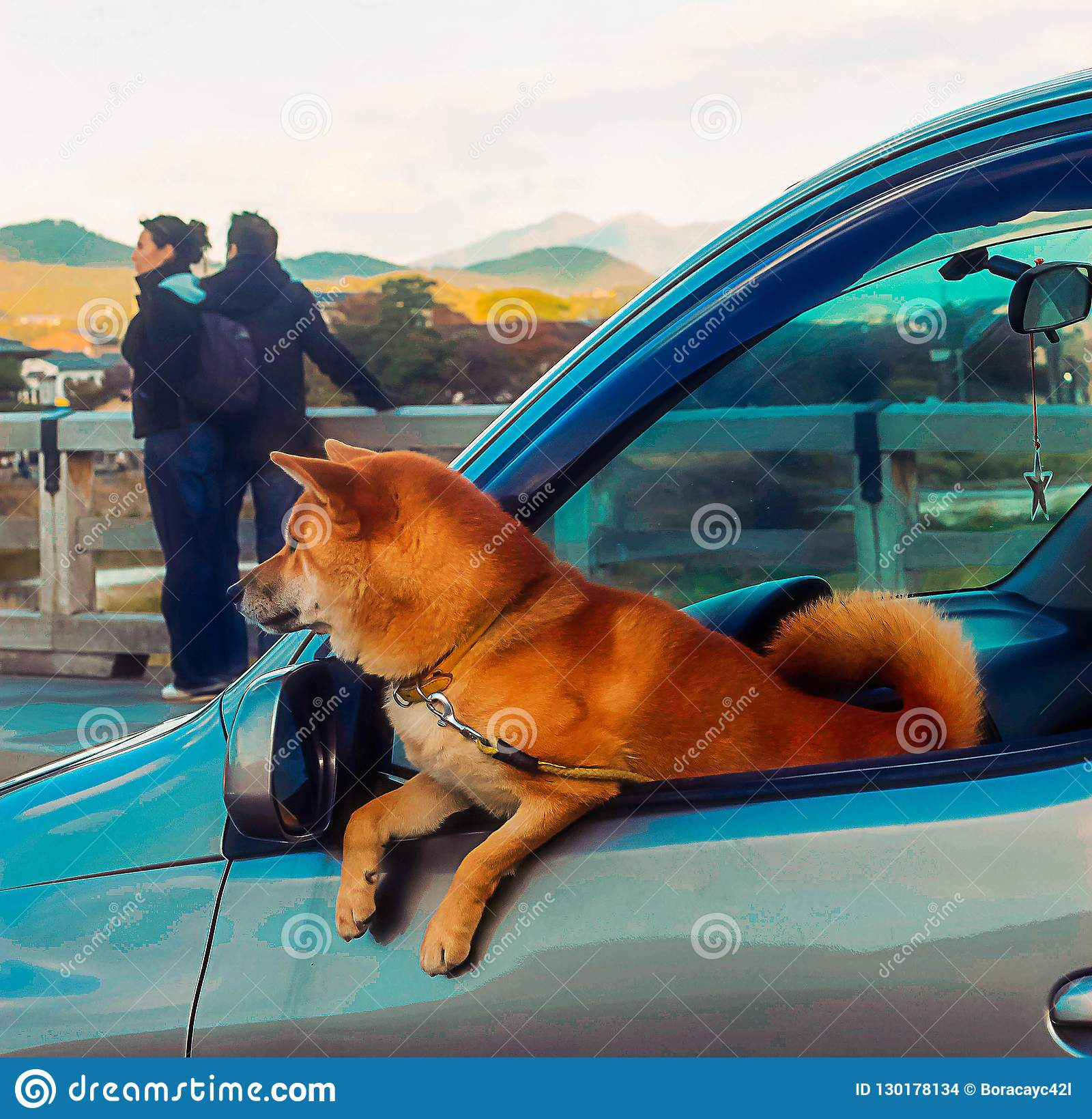 Kyoto, Japan - 2010: shiba inu dog looking out of car