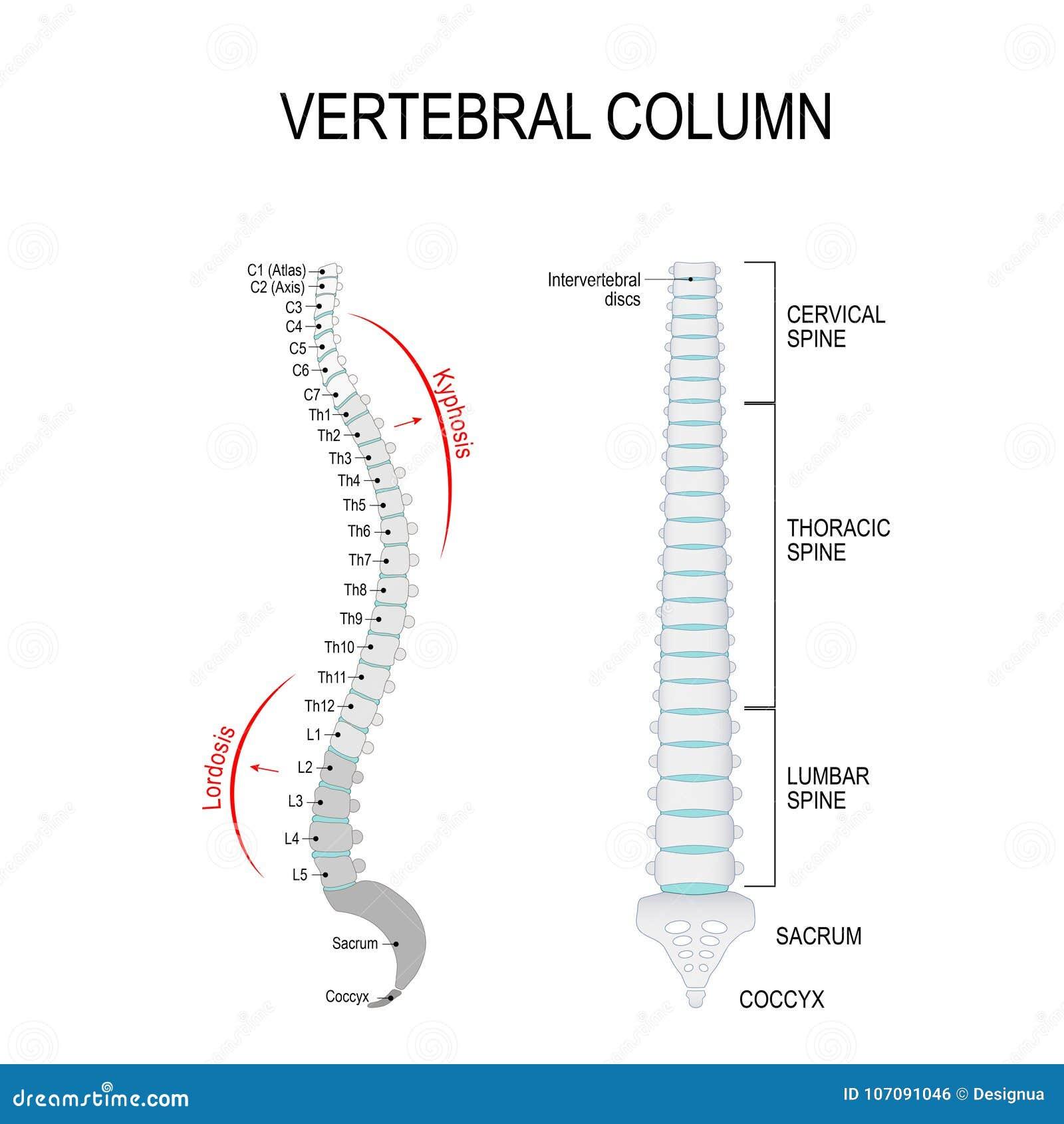 Kyphosis Amp Lordosis Vertebral Column Stock Vector