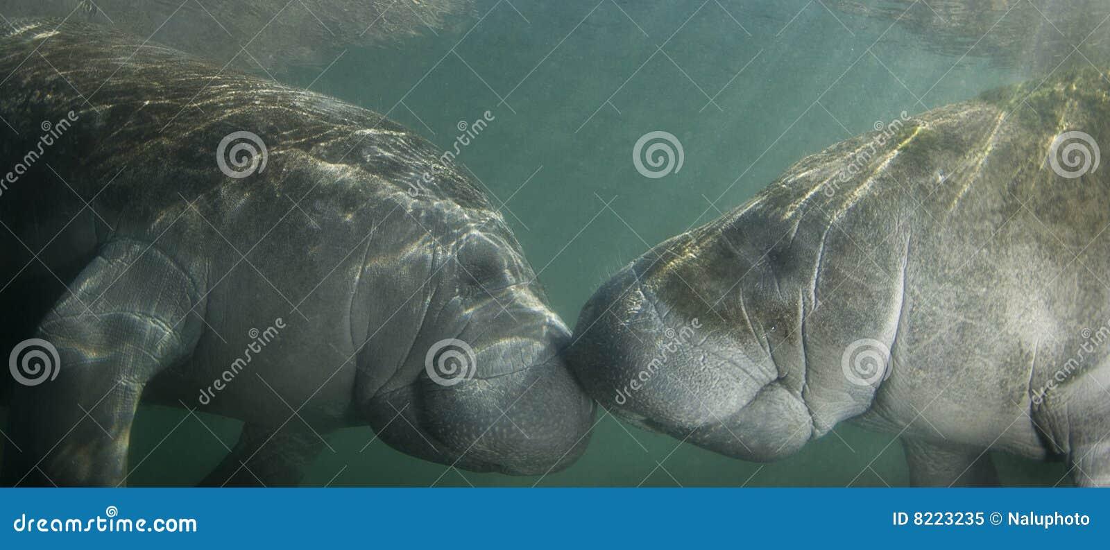 Kyssande manatees