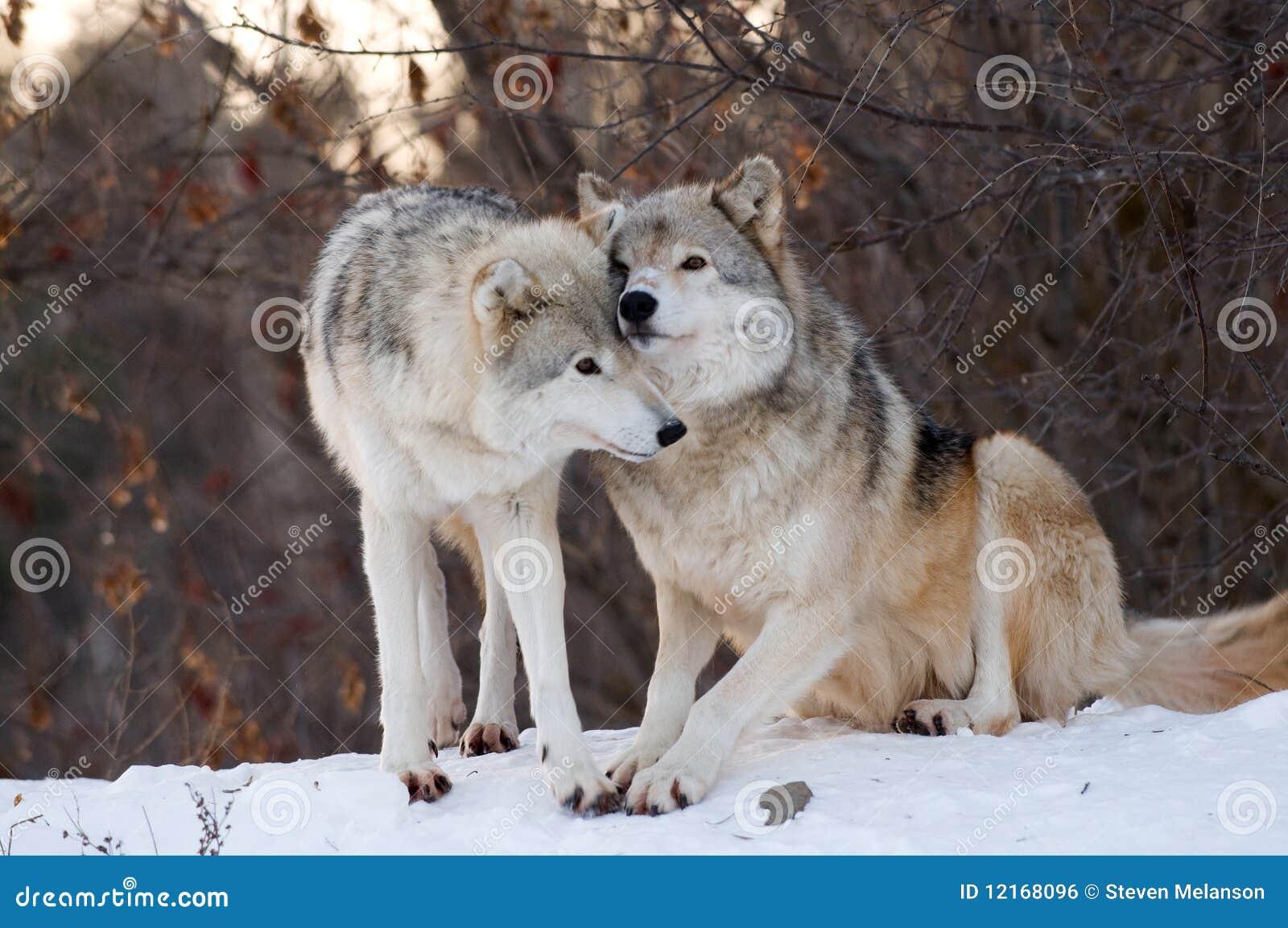 Kyssande wolf