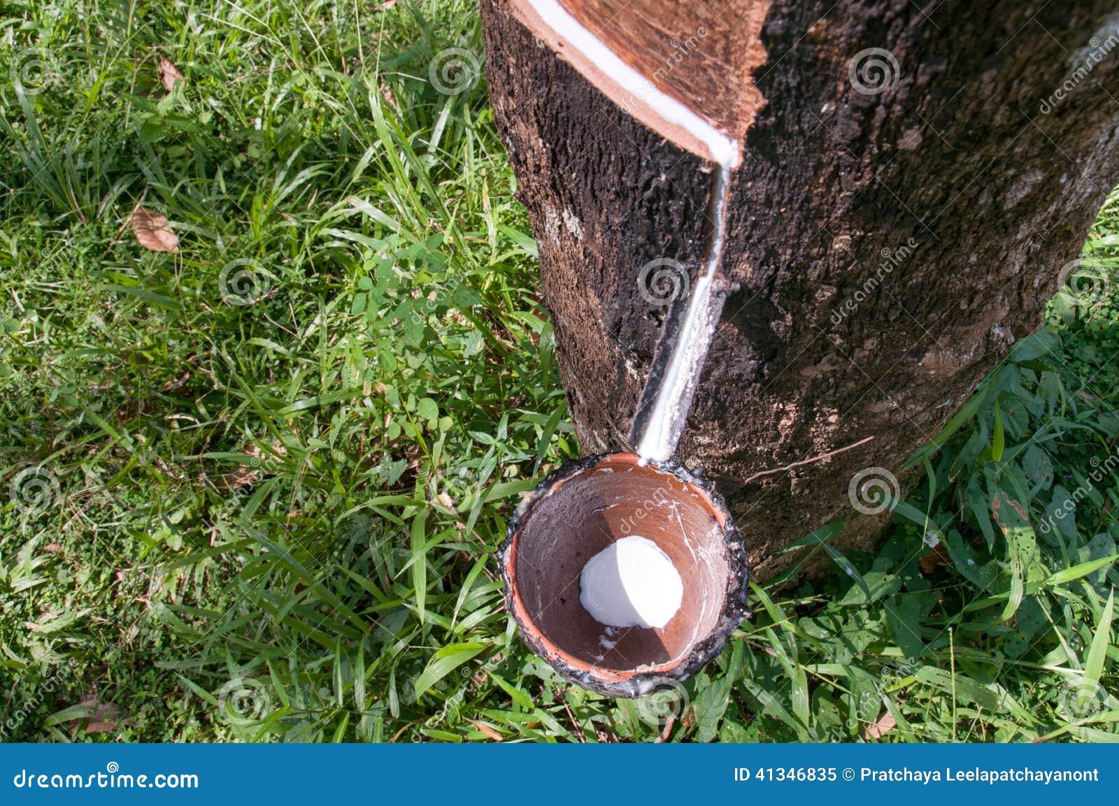 Látex leitoso extraído da árvore da borracha