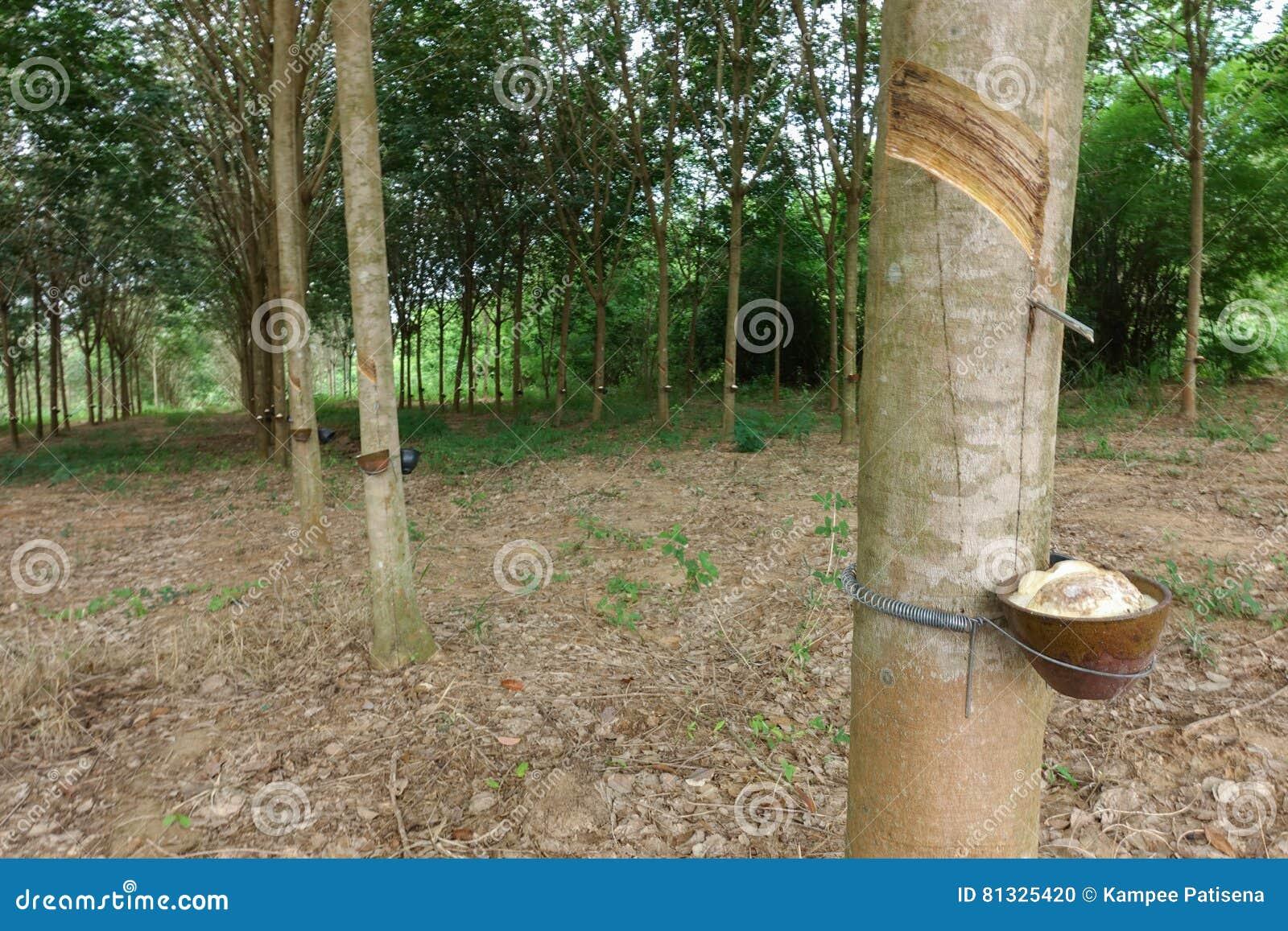 Látex leitoso extraído da árvore da borracha como uma fonte de ru natural