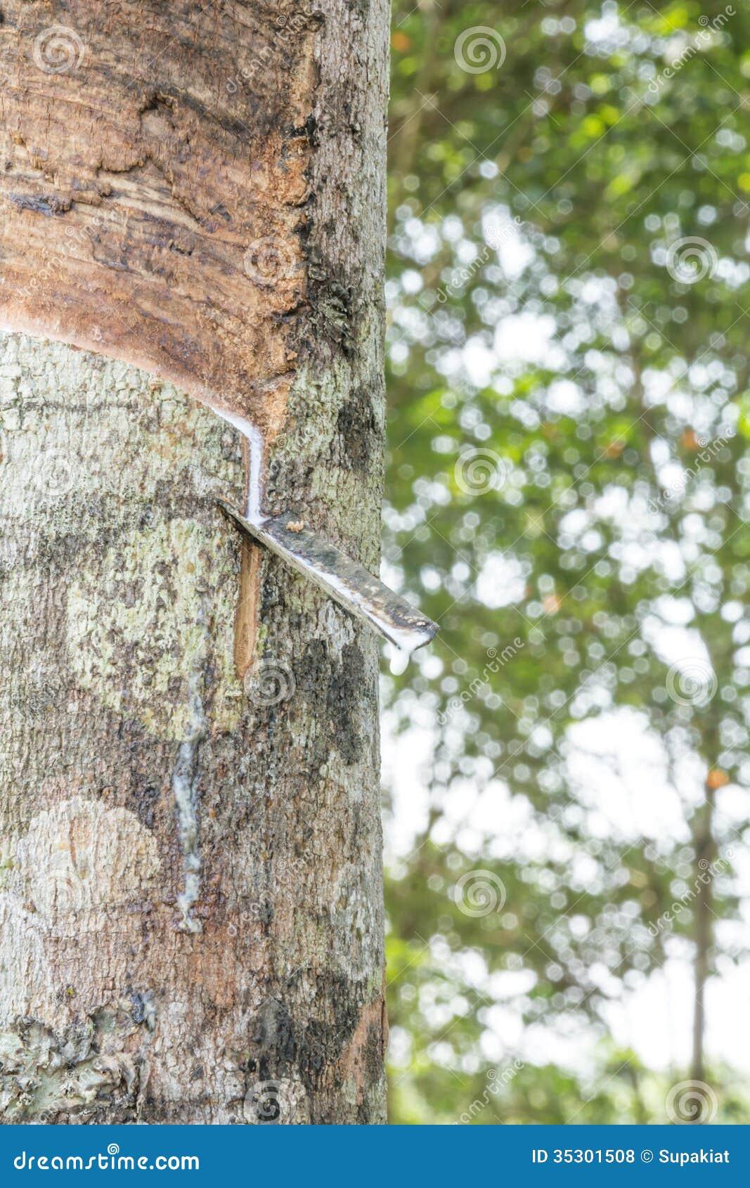 Látex leitoso extraído da árvore da borracha, Loei, Tailândia