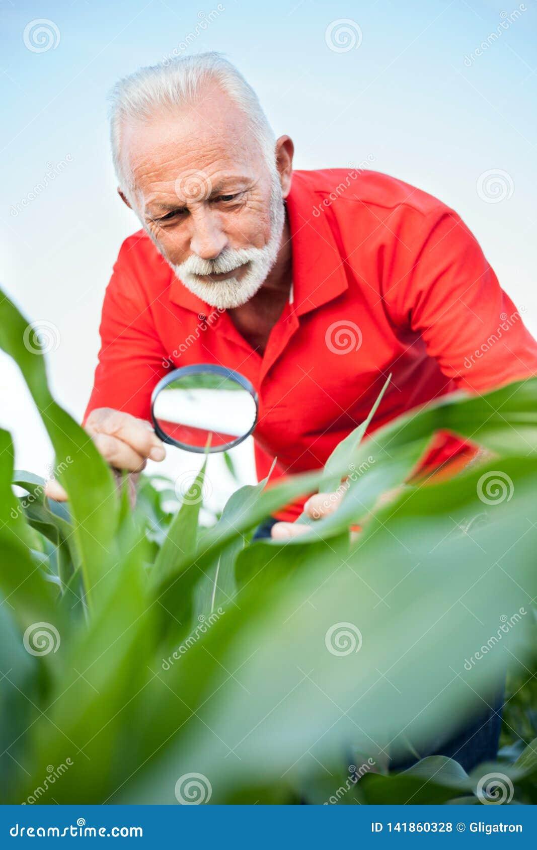 Lächeln ältere, graue behaarte, Maispflanzestämme des Agronomen oder des Landwirts Untersuchungs, nach Parasiten suchend