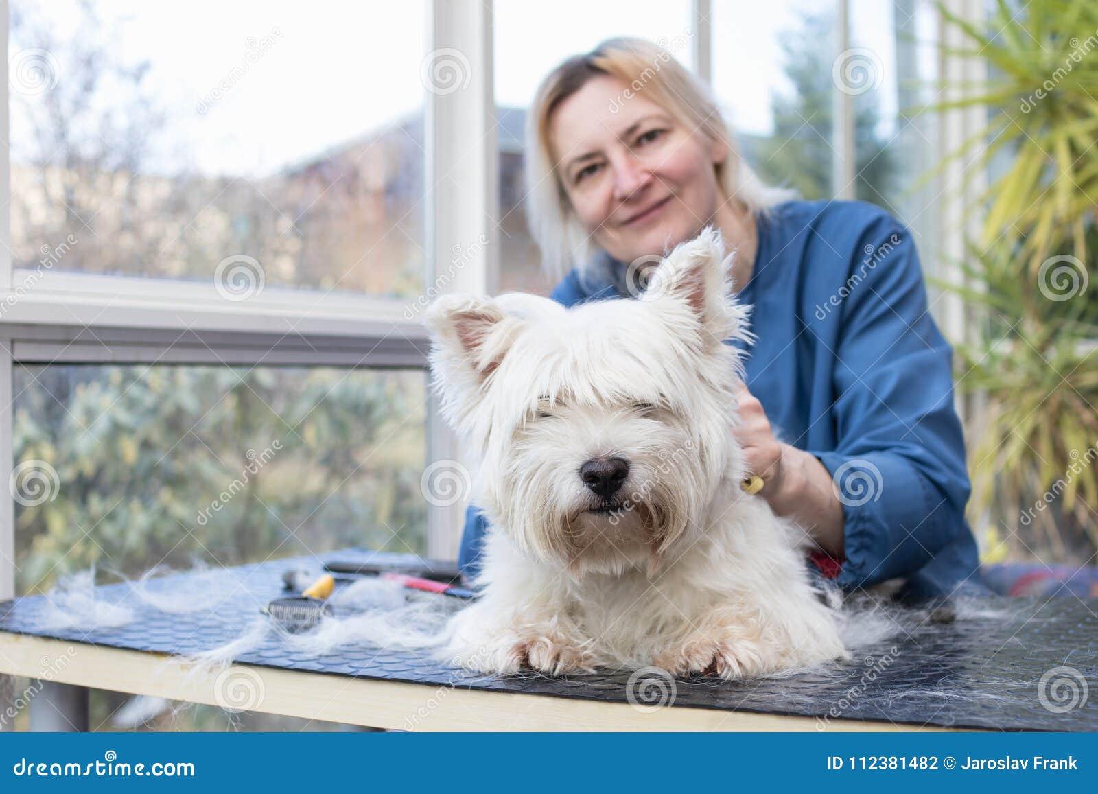 Lächelnde Frau ist Pflegen des West Highland White Terrier-Hundes