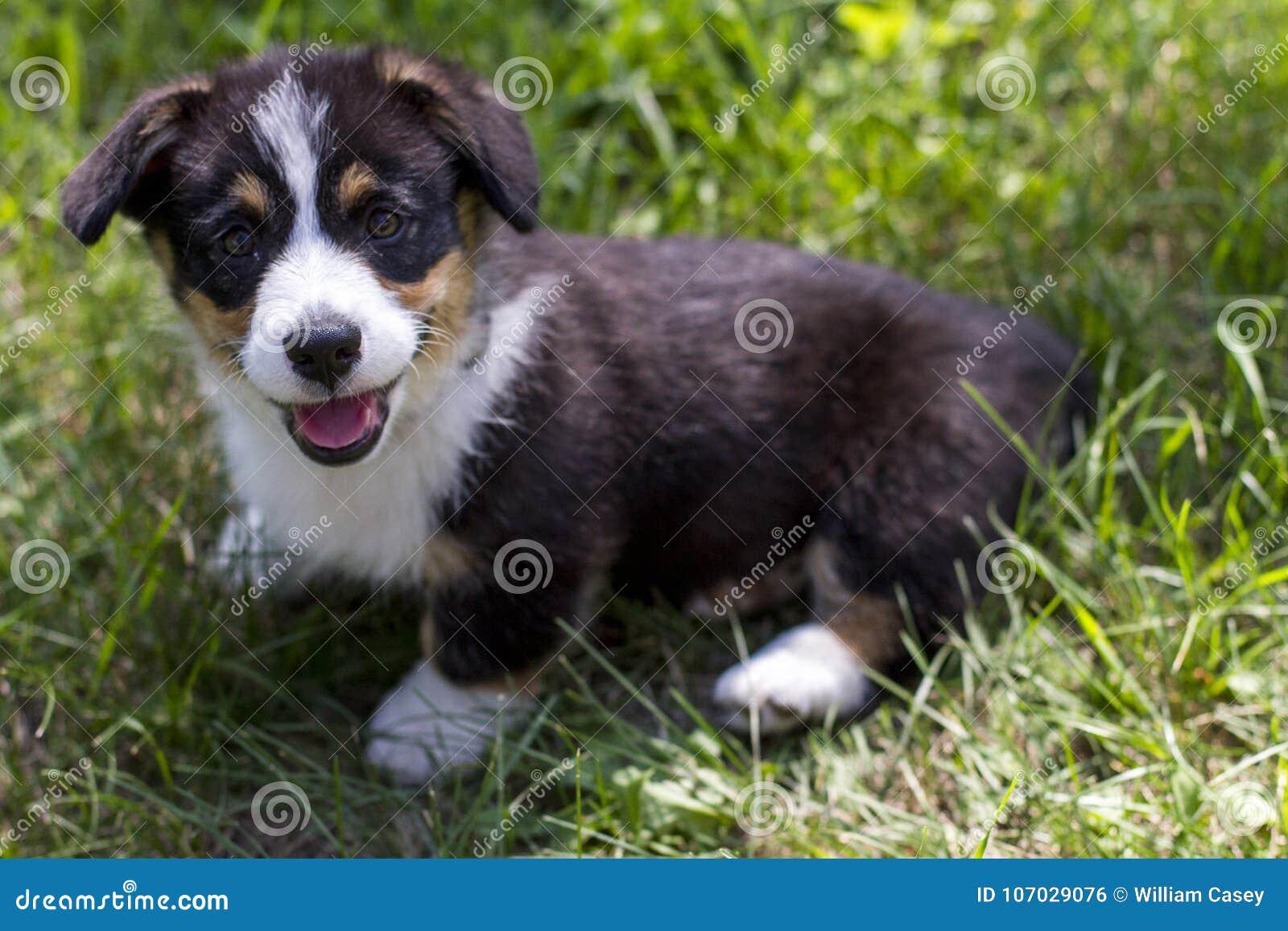 Lächelnder Corgi-Welpe im Gras