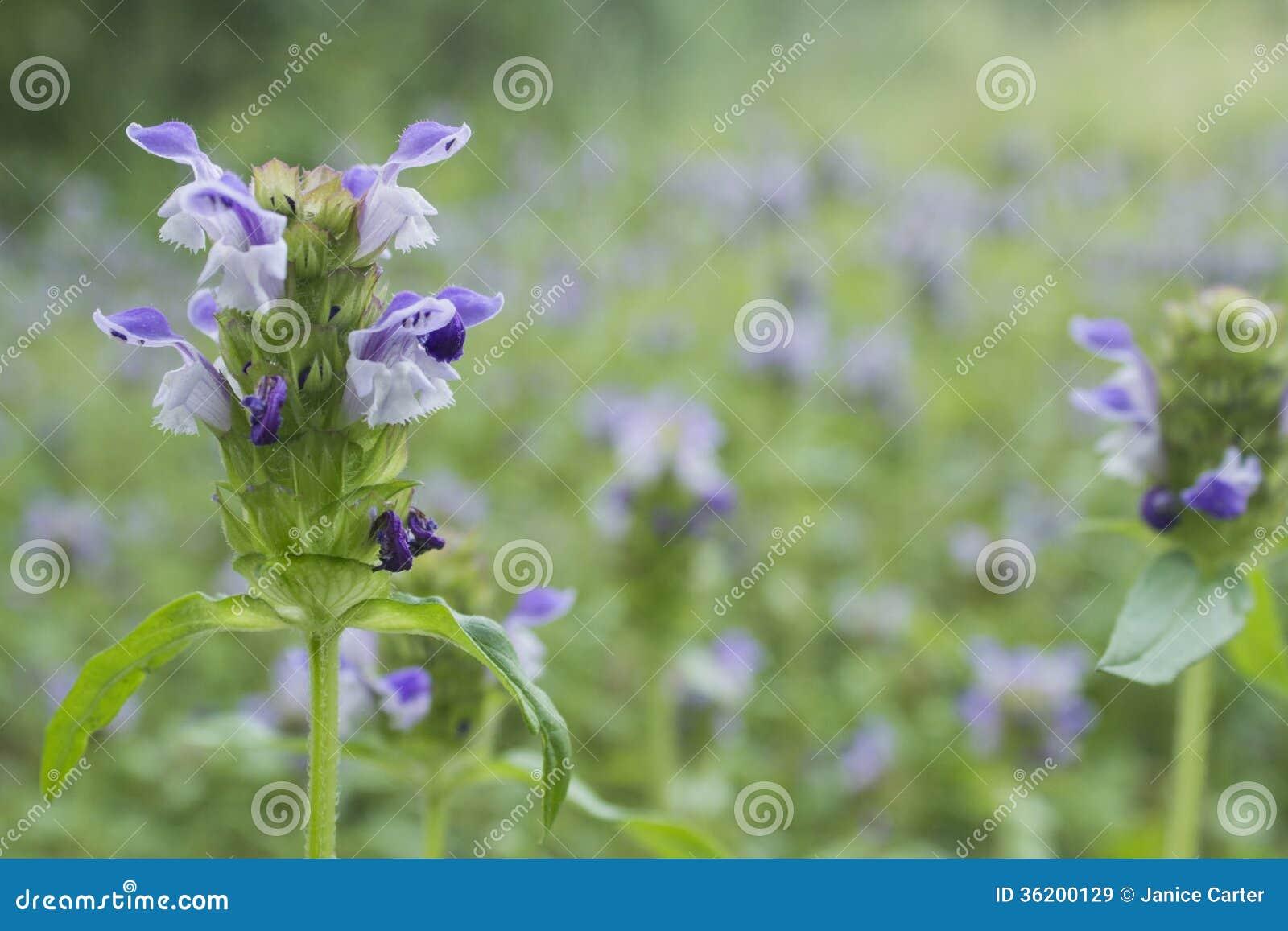 Läka-all växt