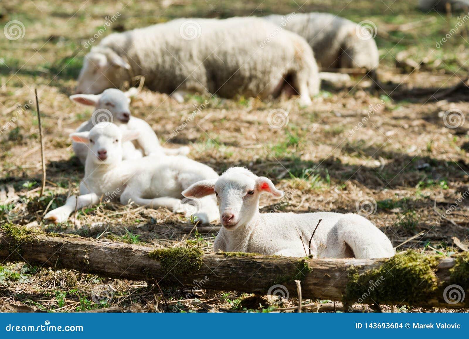 Lämmer, die auf Gras auf Biobauernhof liegen