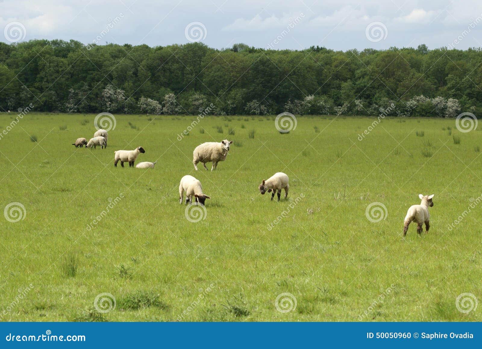 Lämmer und Mutterschaf auf einem Gebiet im Frühjahr Schafe in der Landschaft