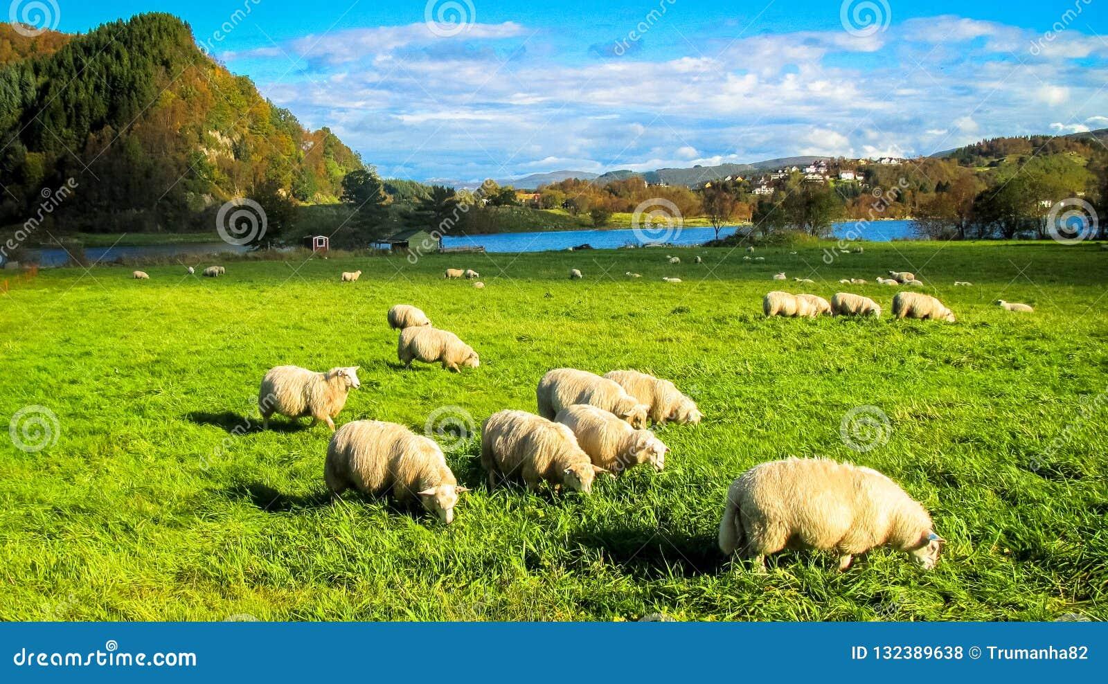 Ländliche Szene mit einer Herde von den Schafen, die Gras auf einer Wiese im Herbst essen